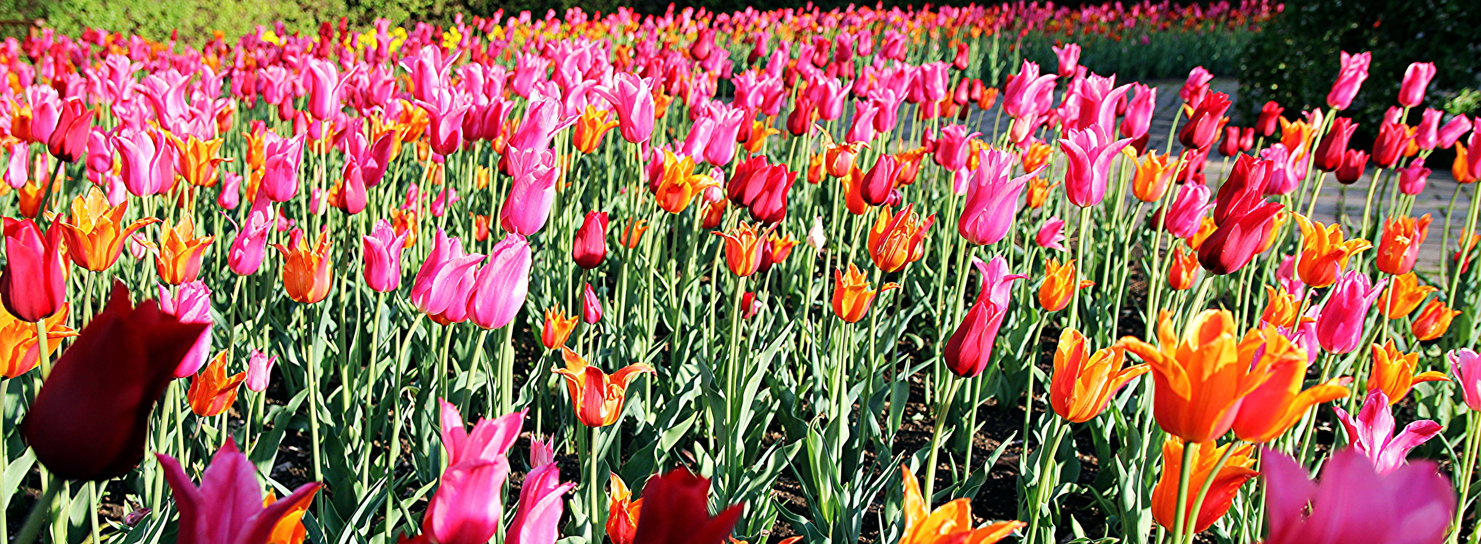 This photo was taken at Cantigny in Wheaton, Illinois.  It's late afternoon and the sun is really magnifying the colors of the 1,000's of tulips. Crouching down is necessary to get an interesting foreground while still capturing the endless sea of colors. It also helps to crop and frame the photo to emphasize the area in focus, as well as what's not.