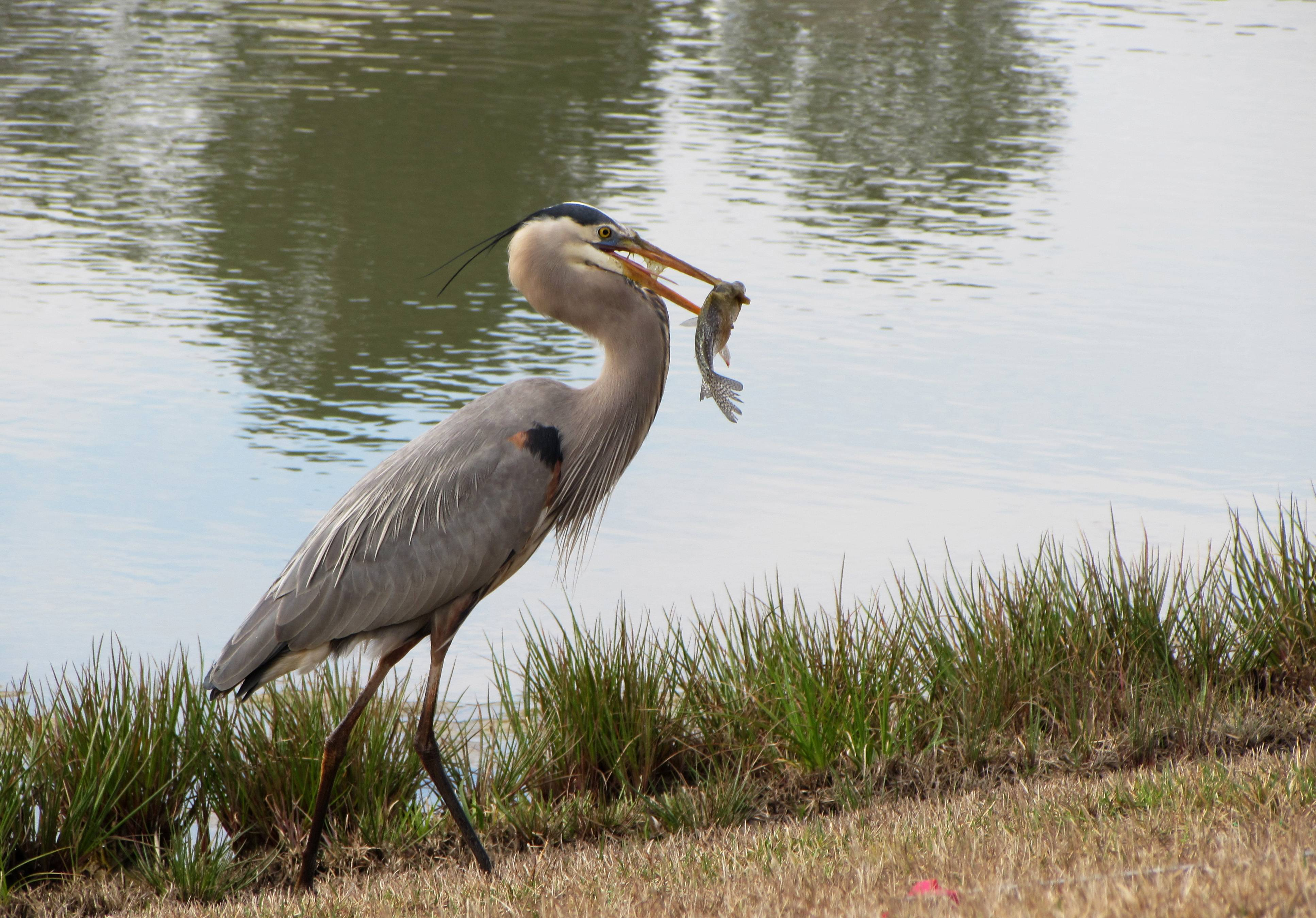 A Great Blue Heron searches for breakfast in a pond in Hilton Head, South Carolina on March 1.
