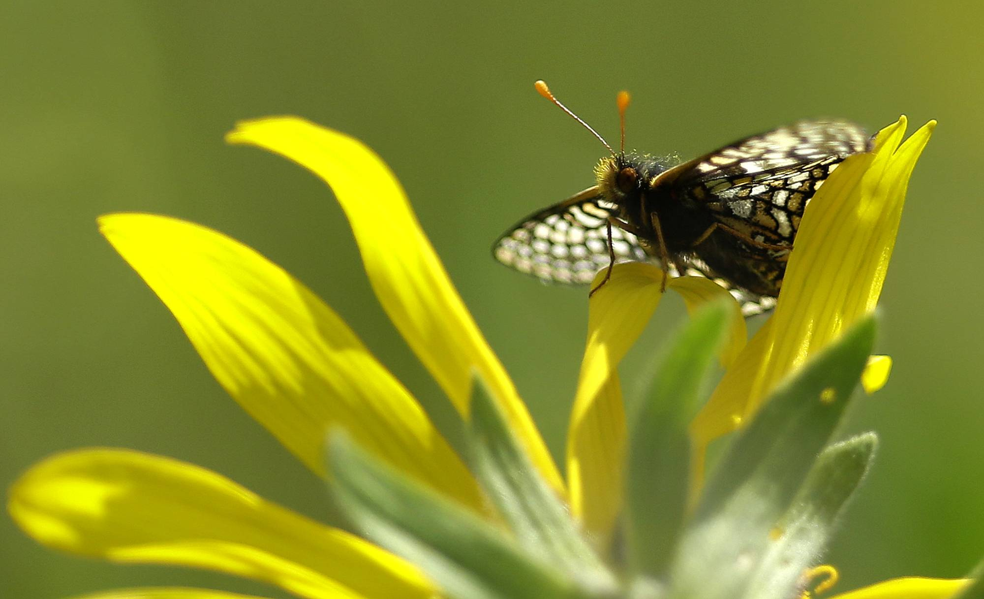 A Taylor's checkerspot butterfly rests on a Puget balsamroot flower on a prairie area used for live-fire exercises at Joint Base Lewis-McChord, Wash. The Army has been working to boost the numbers of the federally listed endangered butterflies, in part because the presence of the insect could impact current training practices.