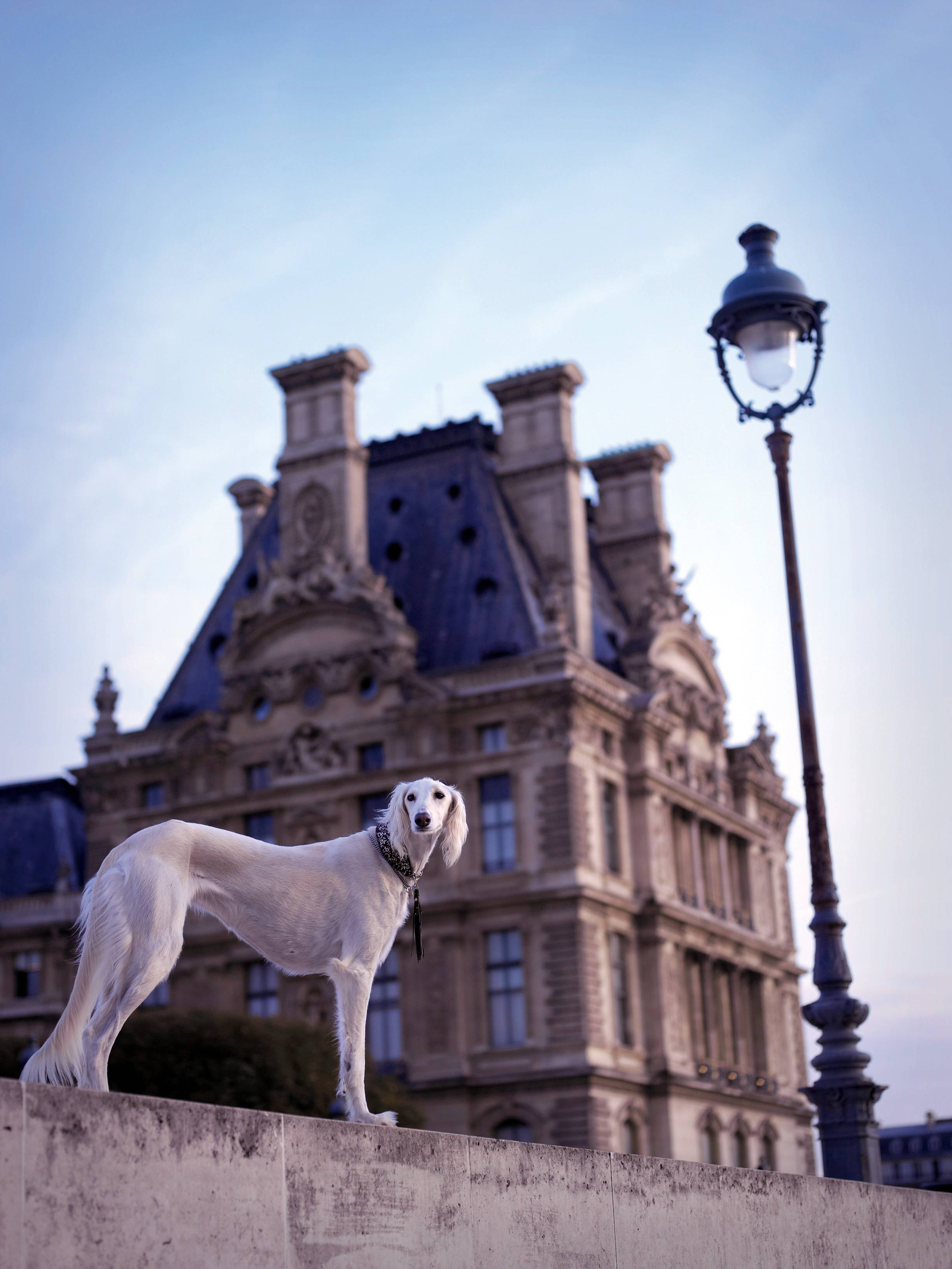 "In this Jan. 30, 2005 photo provided by pet photographer Rachael Hale McKenna shows her client Heyla, a 10-year-old Saluki, photographed in Paris in front of the Louvre Museum. McKenna photographed France's dogs for her photo book, ""The French Dog."""