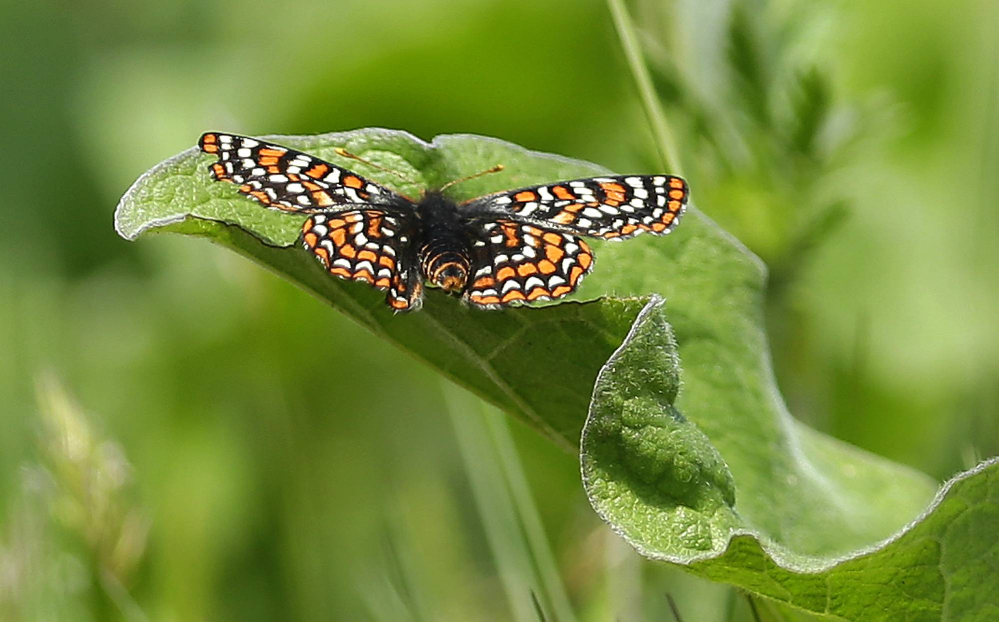 A Taylor's checkerspot butterfly rests on a leaf on a prairie area used for live-fire exercises at Joint Base Lewis McChord, Wash.