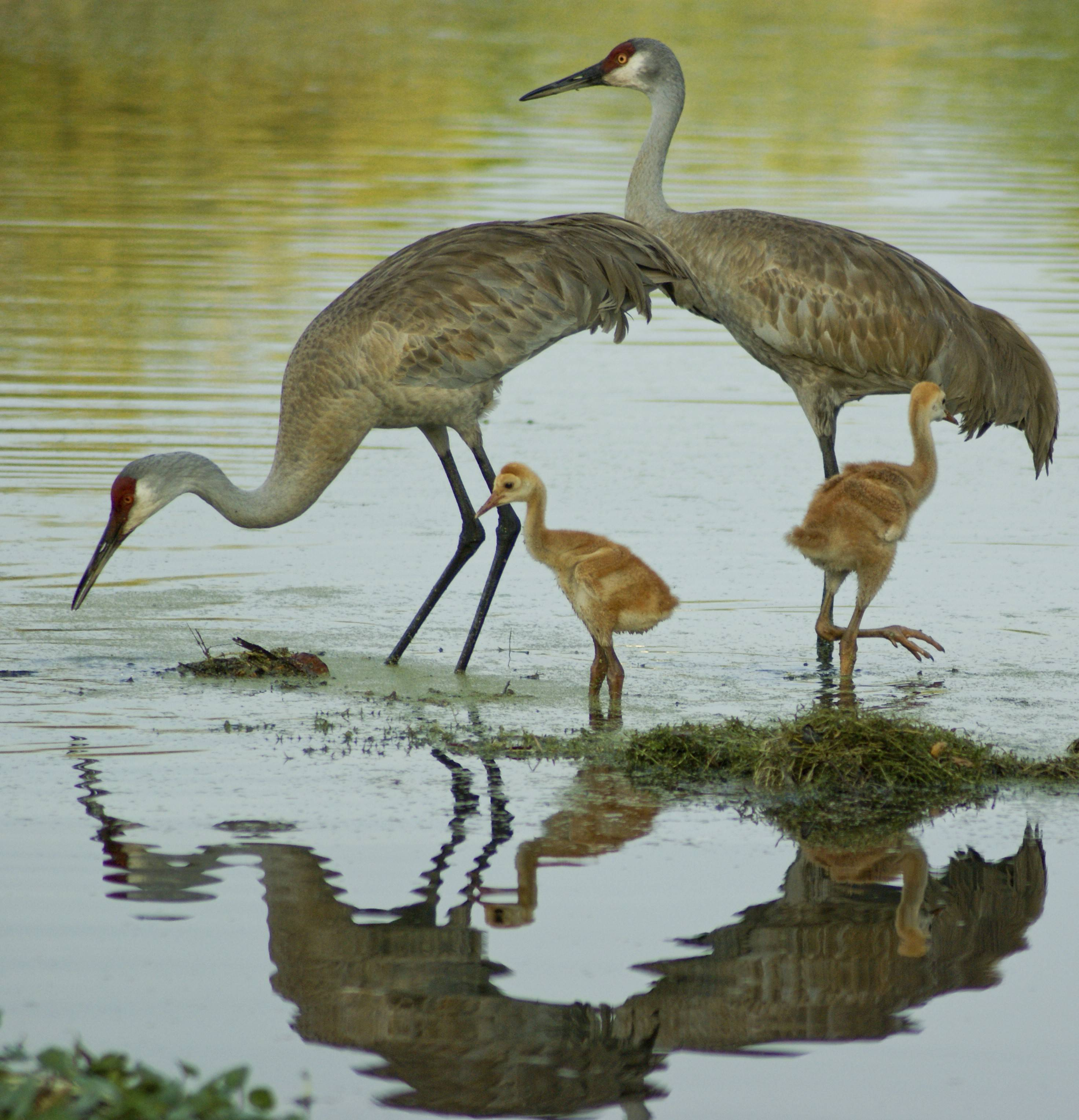 Look for migrating birds, like sandhill cranes, pictured above, during the Kane County Audubon Society's Bird Walk at the Dick Young Forest Preserve in Batavia.