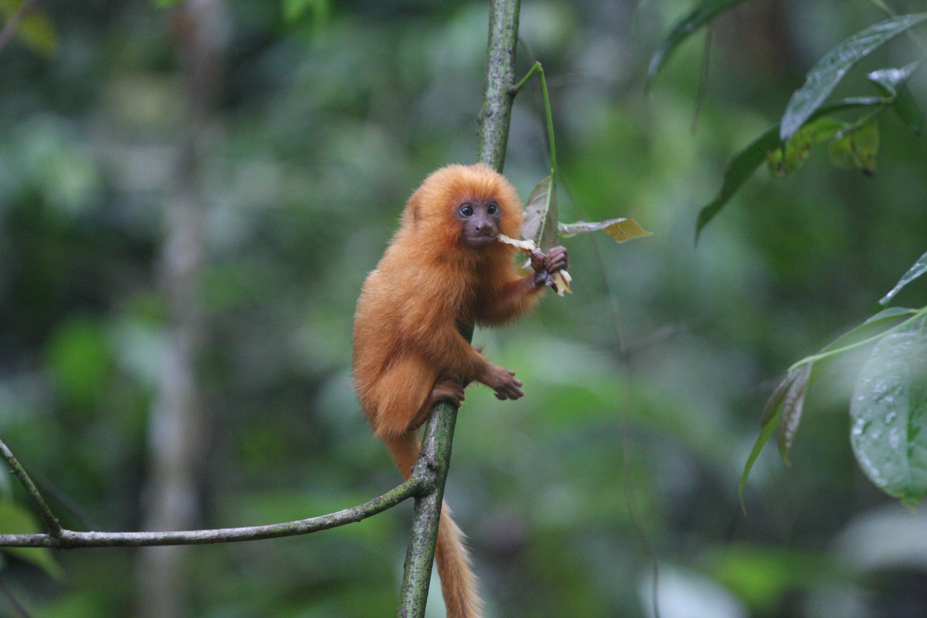 This is a baby golden lion tamarin. Once thought to be extinct, tamarin are a success story because biologists have helped set aside land for them. Species of plants and animals are going extinct 1,000 faster than they did before humans, with the world on the verge of a sixth great extinction, a new study says.