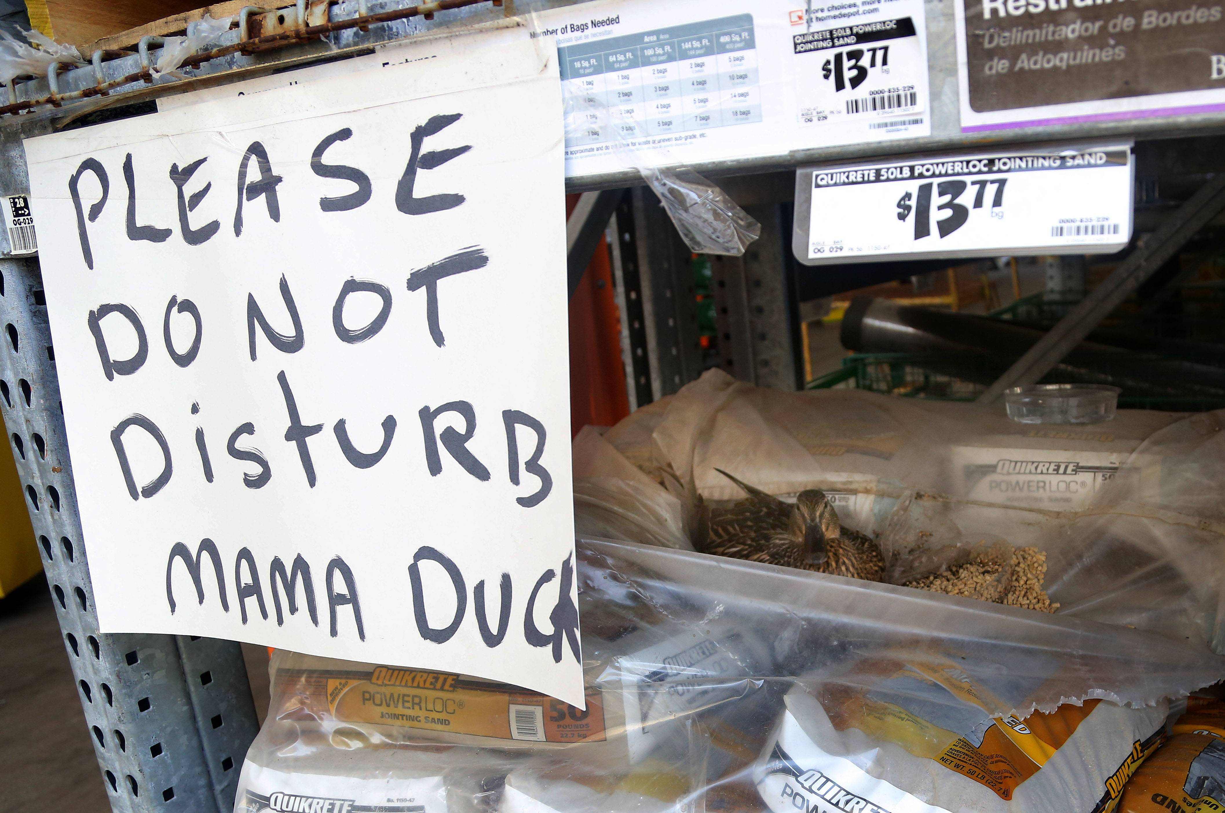 A mother duck decided to lay her eggs in a pallet of paver block sand bags at the Home Depot in Gurnee. Employees have put up a sign to protect her and are feeding her until her ducklings hatch.