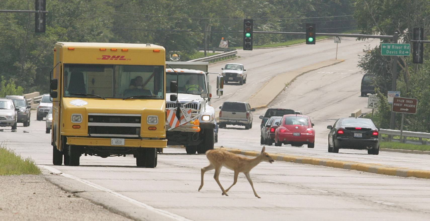 A doe crosses Route 31 in Elgin. Female deer are on the move this time of year, experts say.