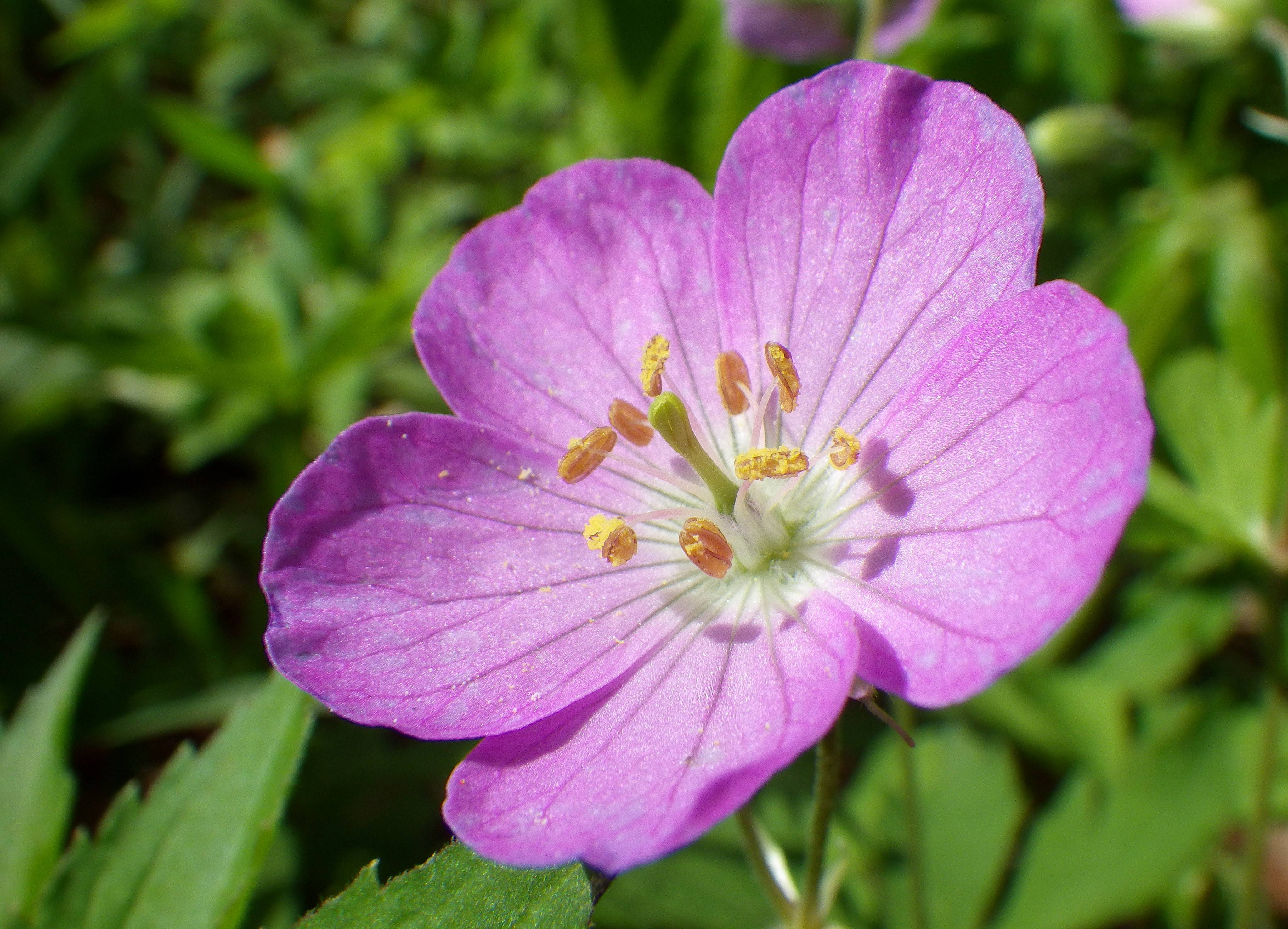 The wild geranium is a native Illinois wildflower of open woods and savannas.