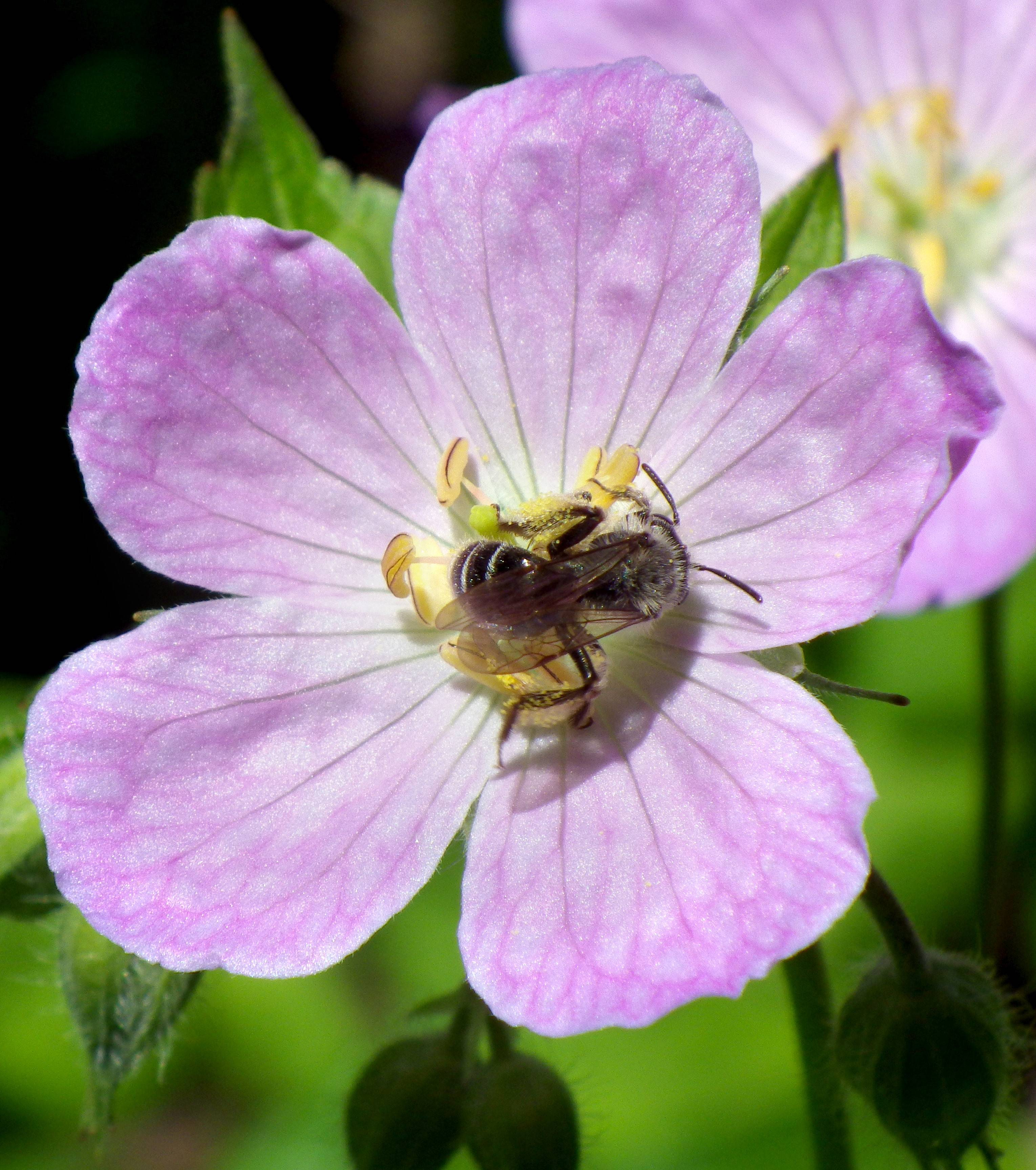 A bee pollinates a wild geranium in full bloom.