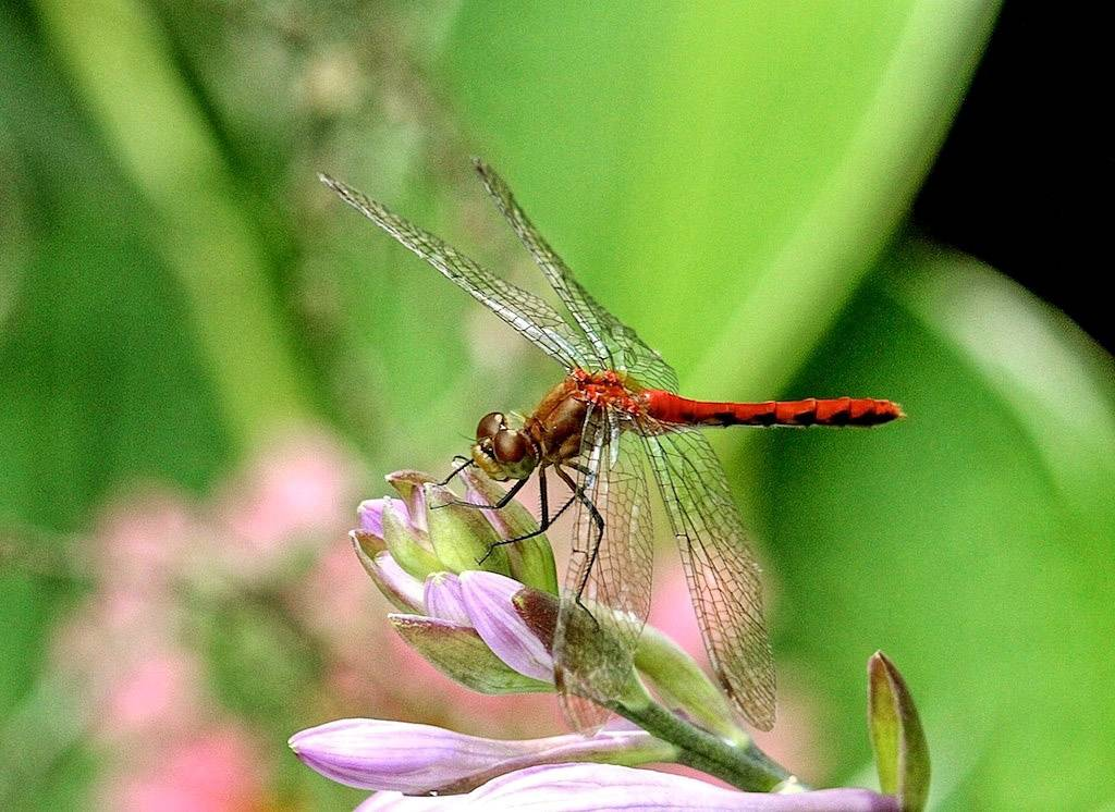 A dragonfly rests on a Hosta plant in an Island Lake garden during August of 2012.