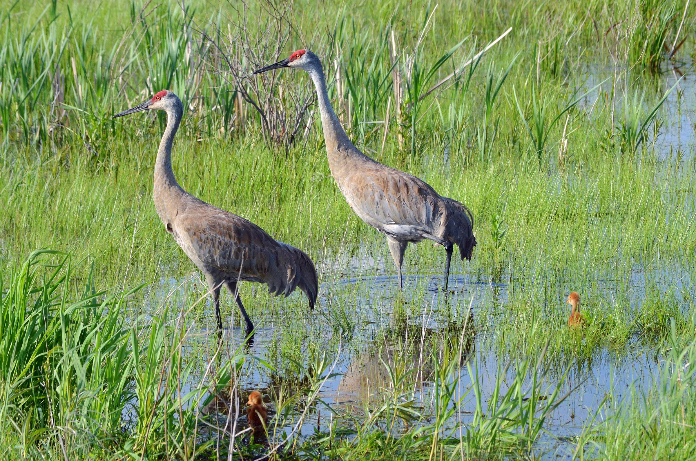 Two sandhill cranes and their chicks walk through the wetlands at Volo Bog on May 11.