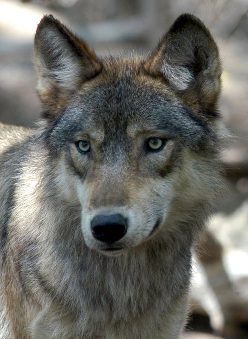 About seven gray wolves have been spotted in Illinois since 2000.