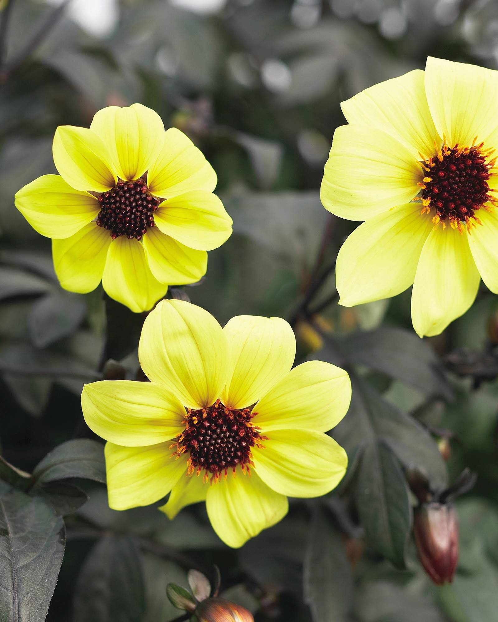 Mystic Illusion, a bright yellow dahlia with dark, almost black foliage, has helped make the dahlia popular again.