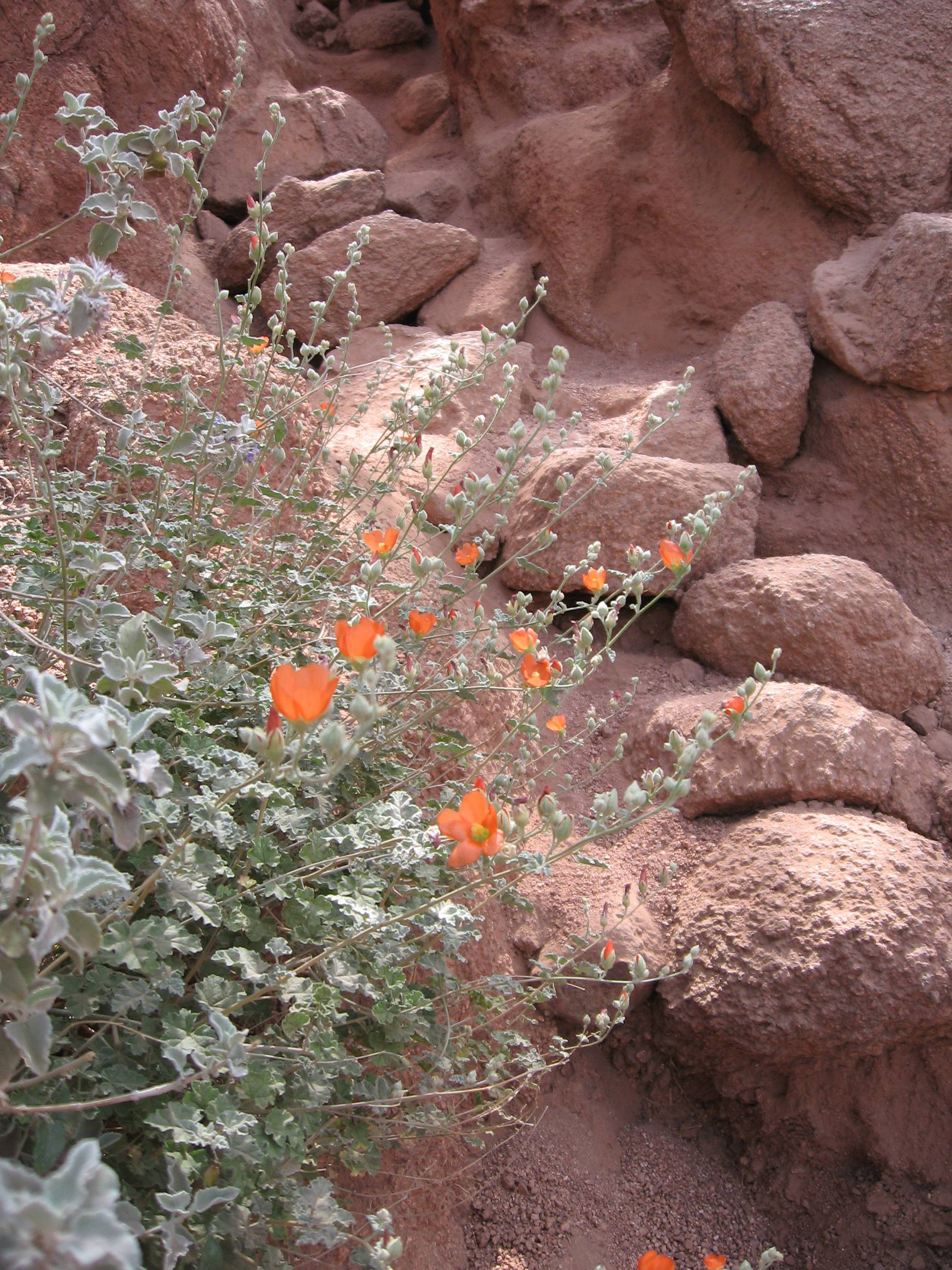 Spring wildflowers bloom amid the red rocks of Camelback Mountain in Phoenix, Ariz.
