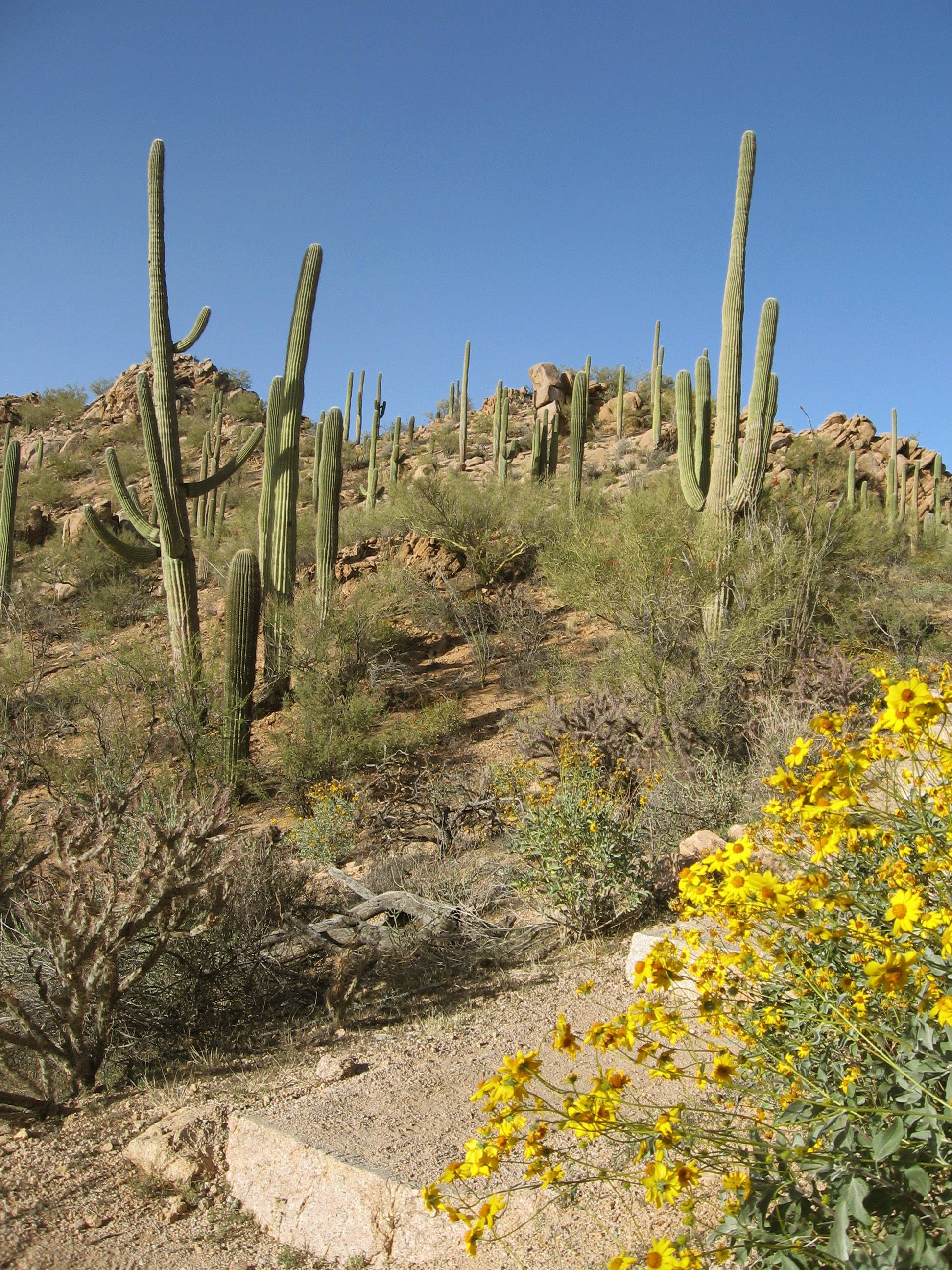 Cactuses and spring flowers await hikers on the Norris Trail of Saguaro National Park in Arizona. The park, divided into two districts with the city of Tucson in between them, offers hikers sunny, peaceful trails.
