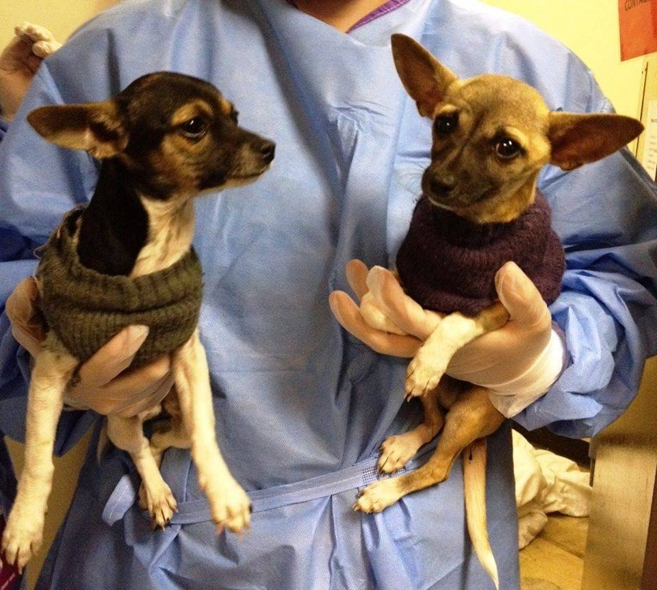 "These two puppies spent time in the ""Parvo Ward"" at the Kansas City Pet Project, which is testing a treatment for the canine parvovirus."
