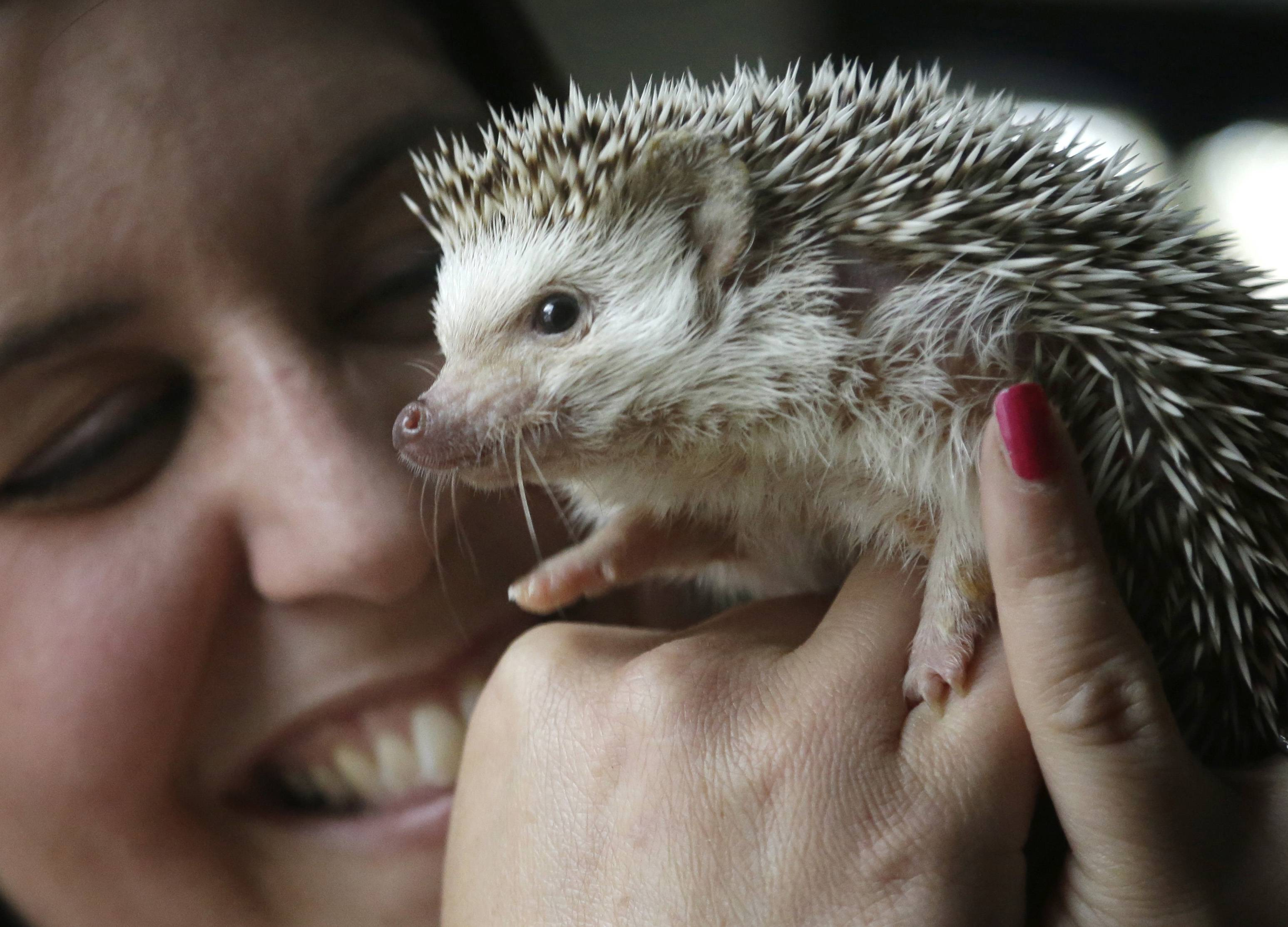"Hedgehog breeder and trainer Jennifer Crespo, of Gardner, Mass., holds ""Circus,"" a one-year-old pet hedgehog. Hedgehogs are steadily growing in popularity across the United States, despite laws in at least six states banning or restricting them as pets."
