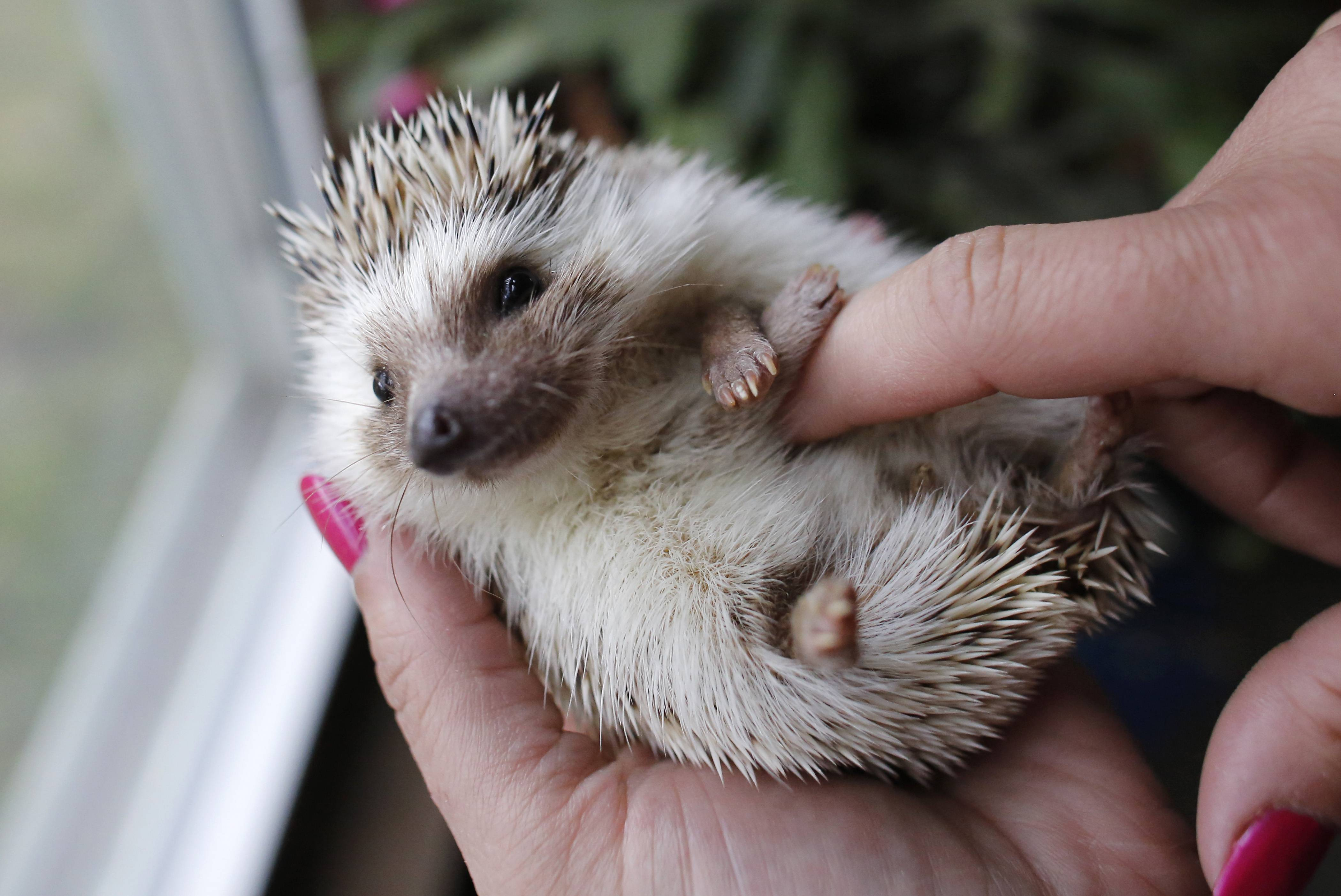 Hedgehog breeder and trainer Jennifer Crespo, of Gardner, Mass., holds a pet hedgehog.