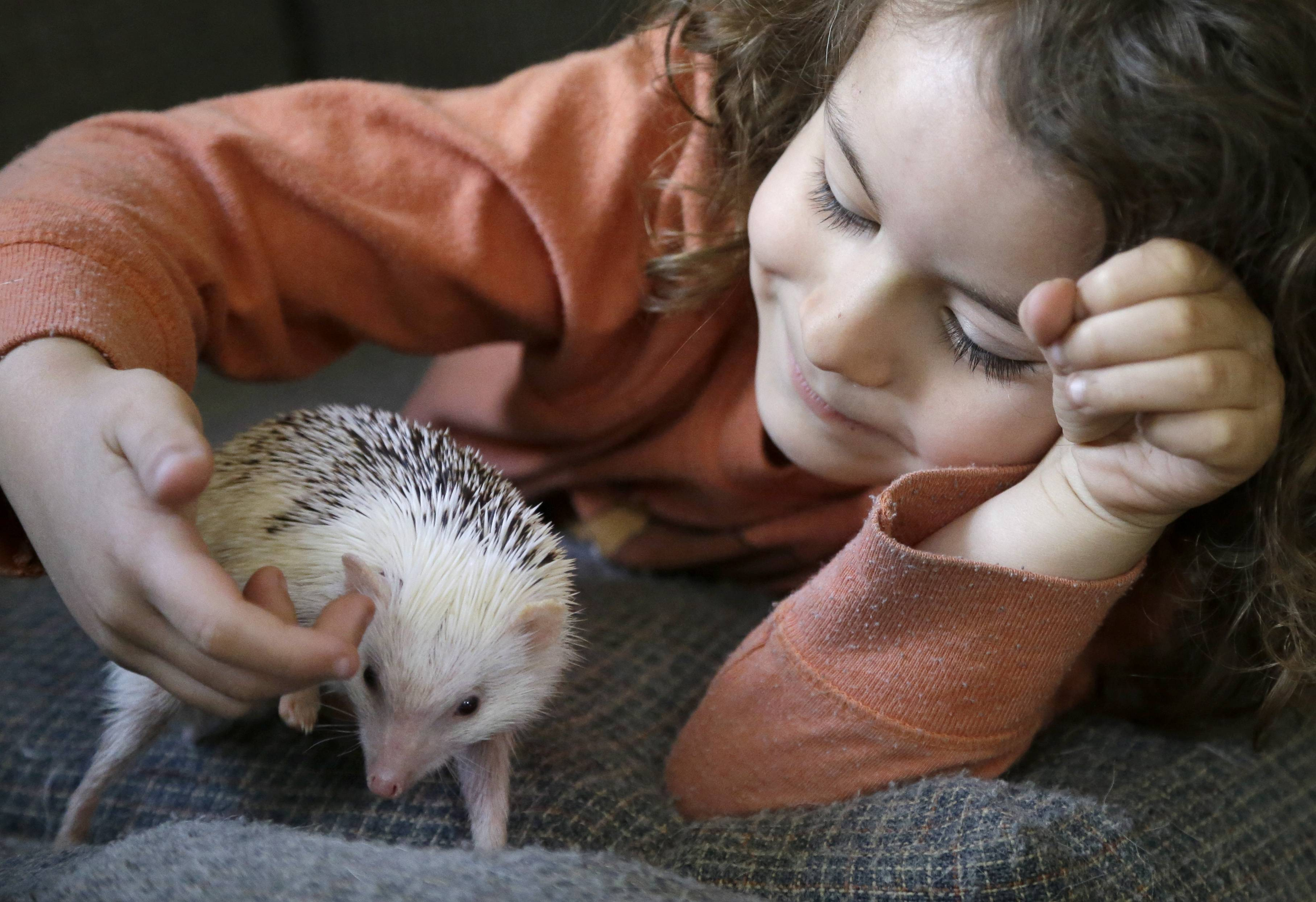 "Wyatt Crespo, 5, plays with ""Jambalaya,"" a six-month-old pet hedgehog."