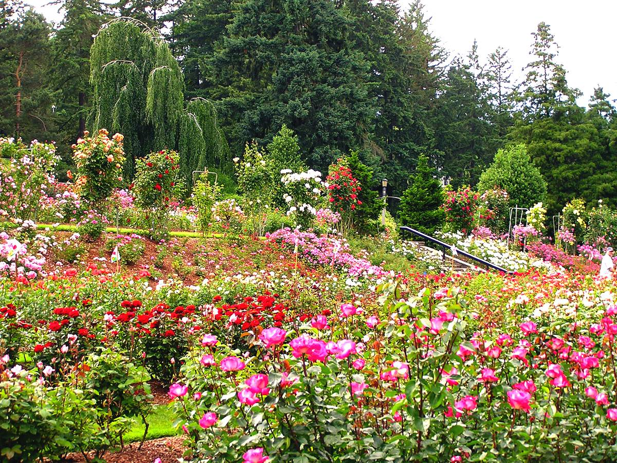 "Portland has long been nicknamed the ""City of Roses."""