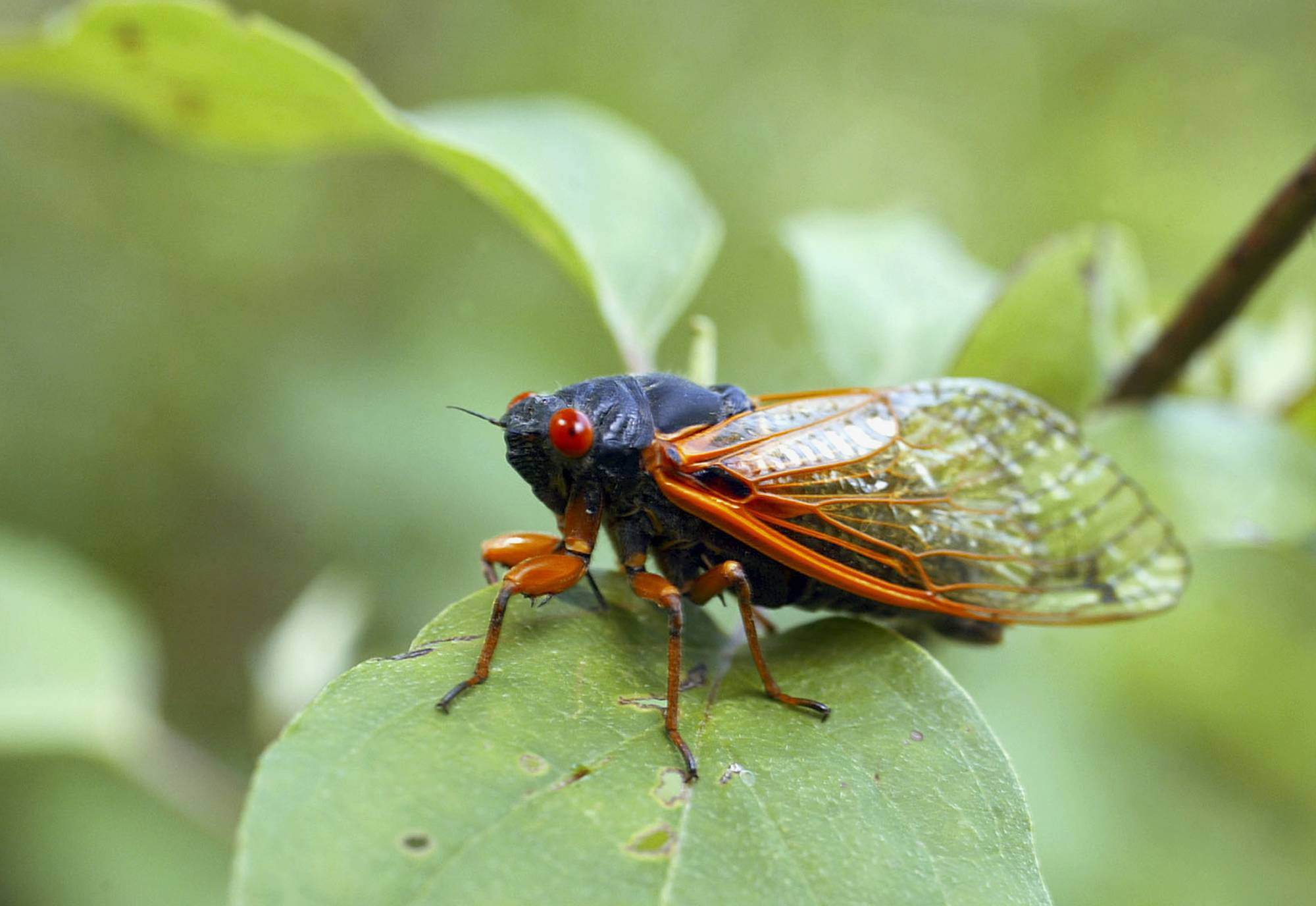 Cicadas should start emerging this weekend. The 17-year hatch should be most noticeable in western Illinois, Missouri and southeastern Iowa.