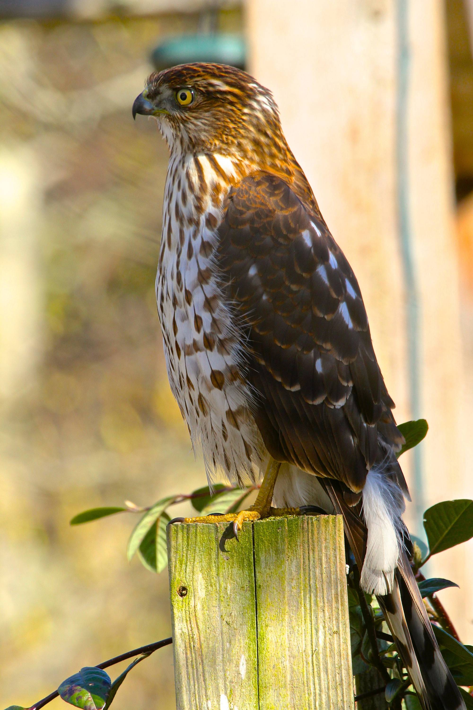 This Cooper's Hawk was an uninvited visitor who arrived at a residence shortly after some songbirds responded to birdcall playback from a smartphone. These hawks frequently hunt smaller birds that flock to home feeders.