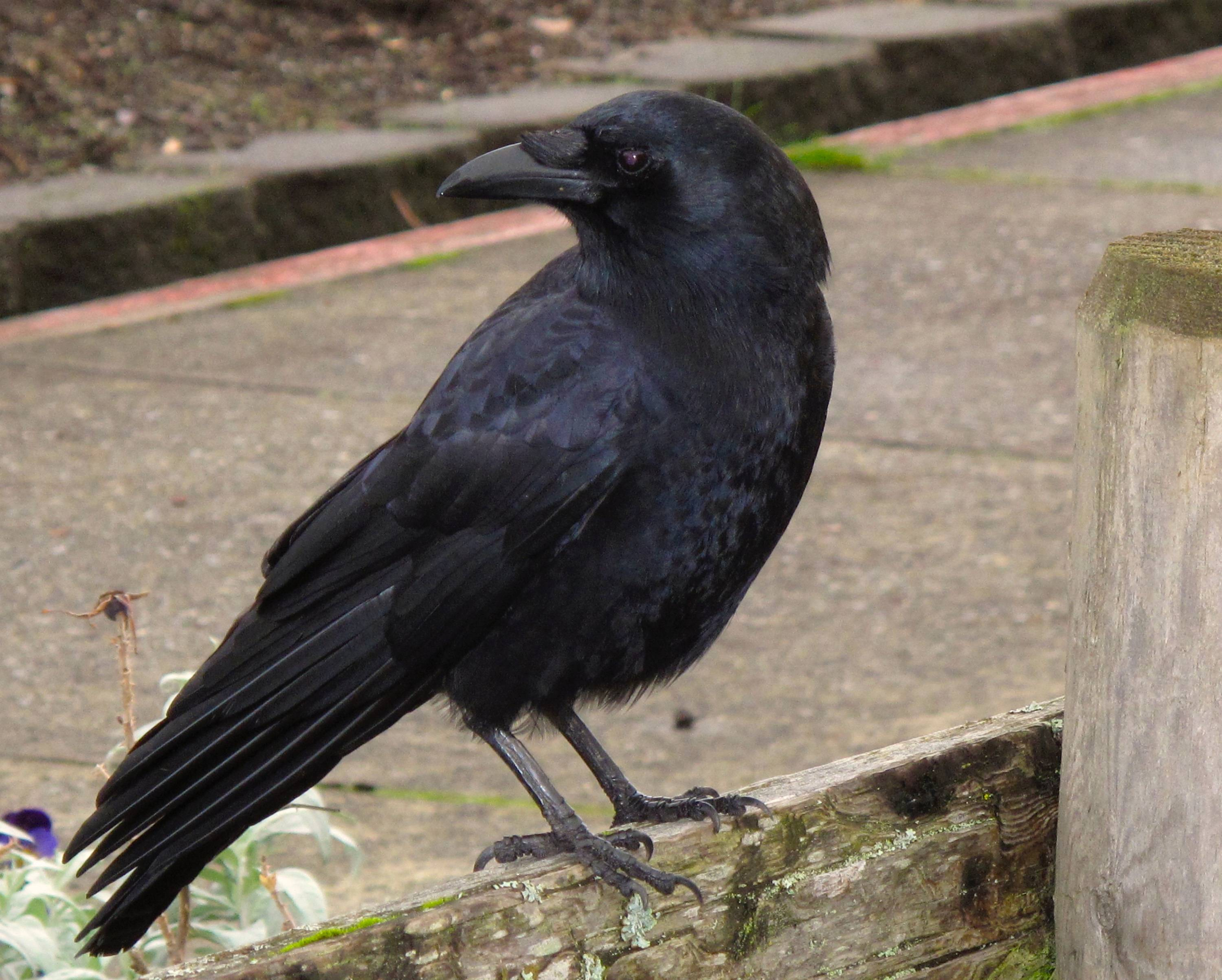 A crow arrives on a fence to join a number of others near a restaurant in Langley, Wash., responding in part to some smartphone playback. The prevalence of playback -- playing recorded birdcalls on smartphones or other mobile devices -- is increasing rapidly as their prices continue to fall. That concerns many bird-watchers who believe it can stress territorial birds, especially if overdone.