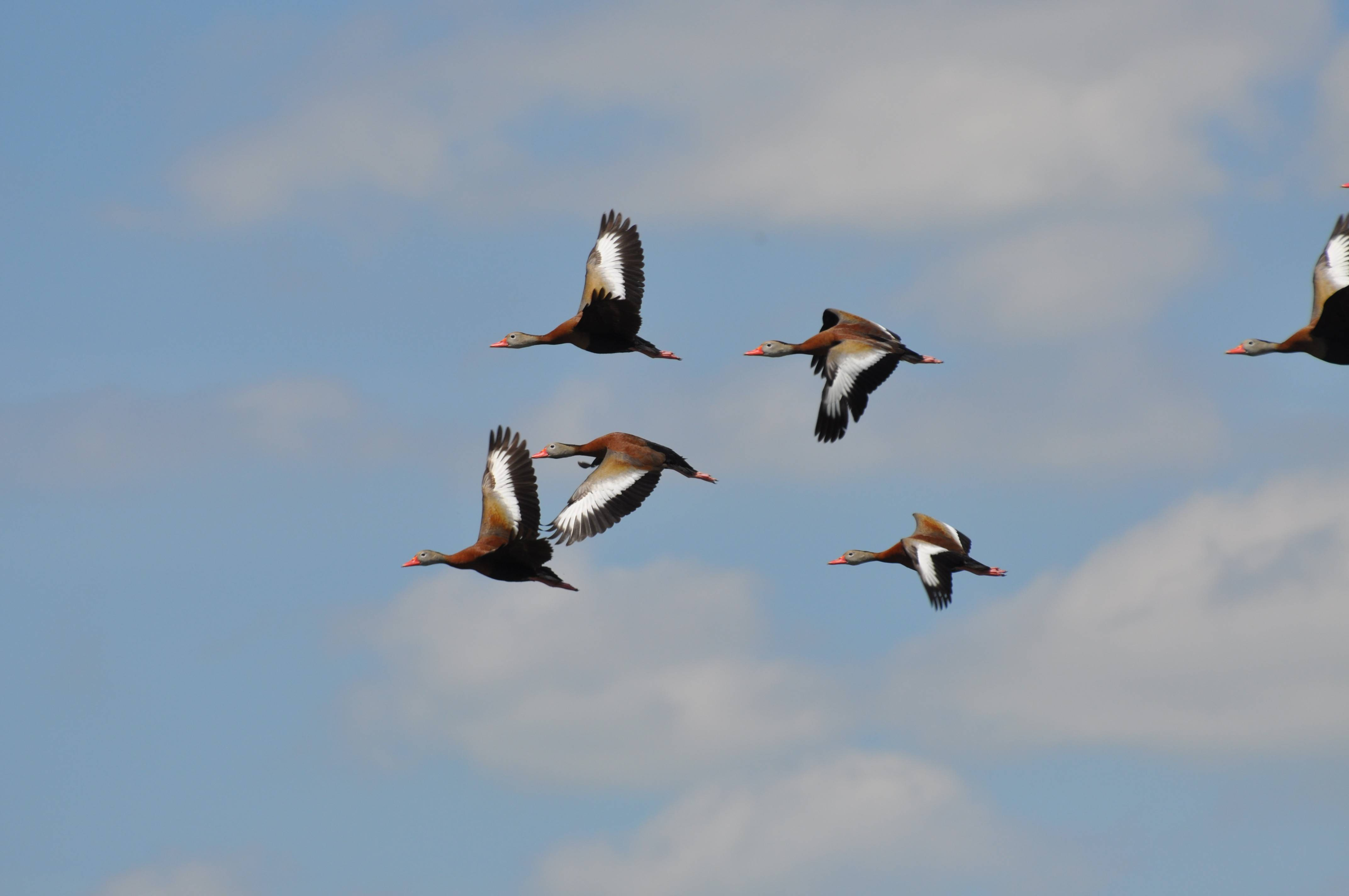 Usually seen in flocks, black-bellied whistling ducks are both dazzling and noisy when in flight.