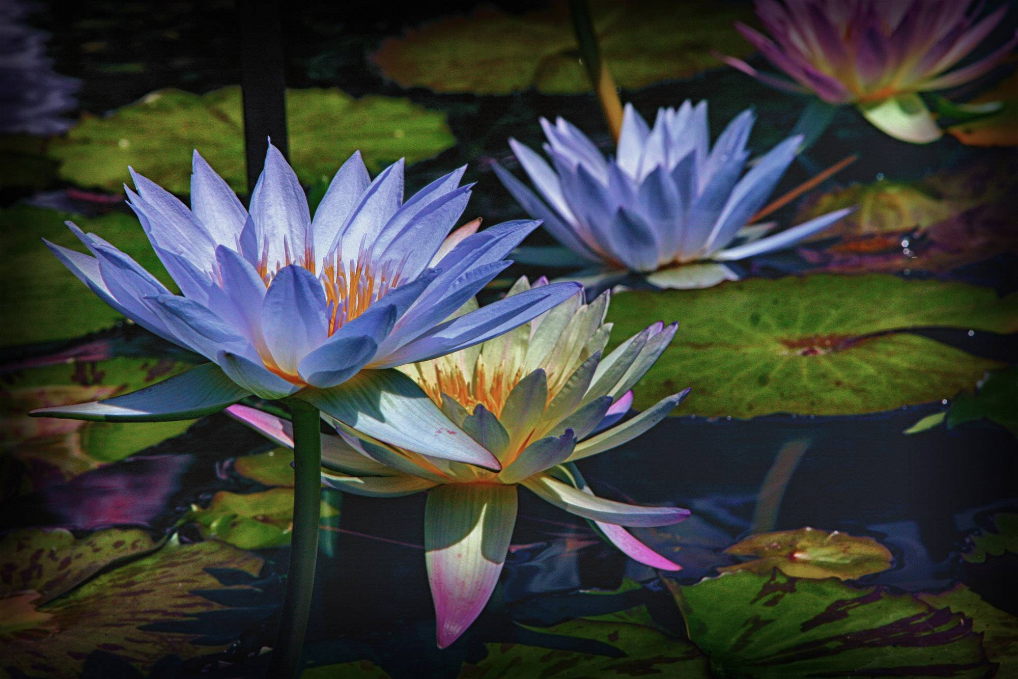 Water lilies at the Chicago Botanical Gardens in Glencoe.