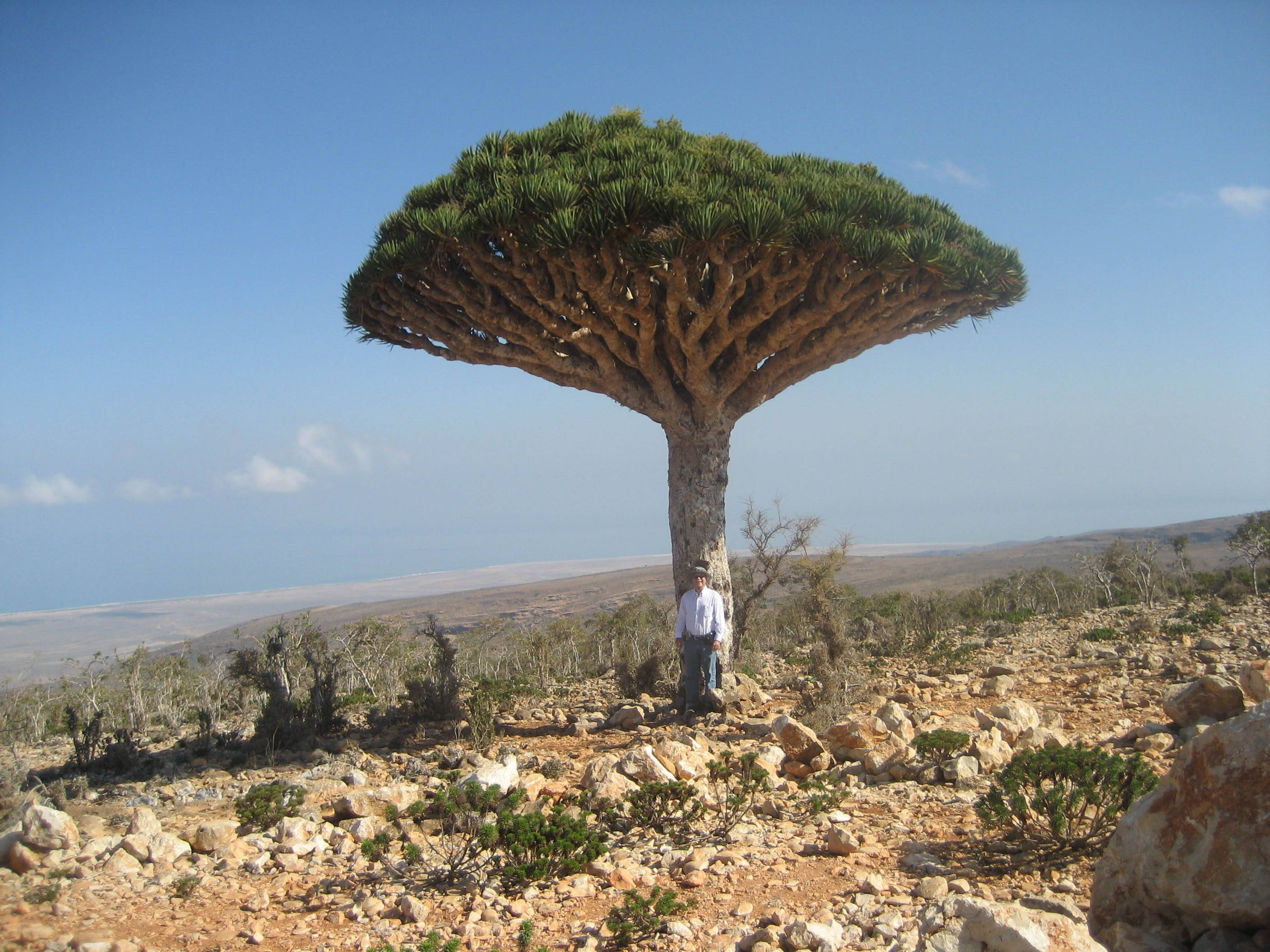Don Parrish poses by a Dragon Blood tree on the island of Socotra.