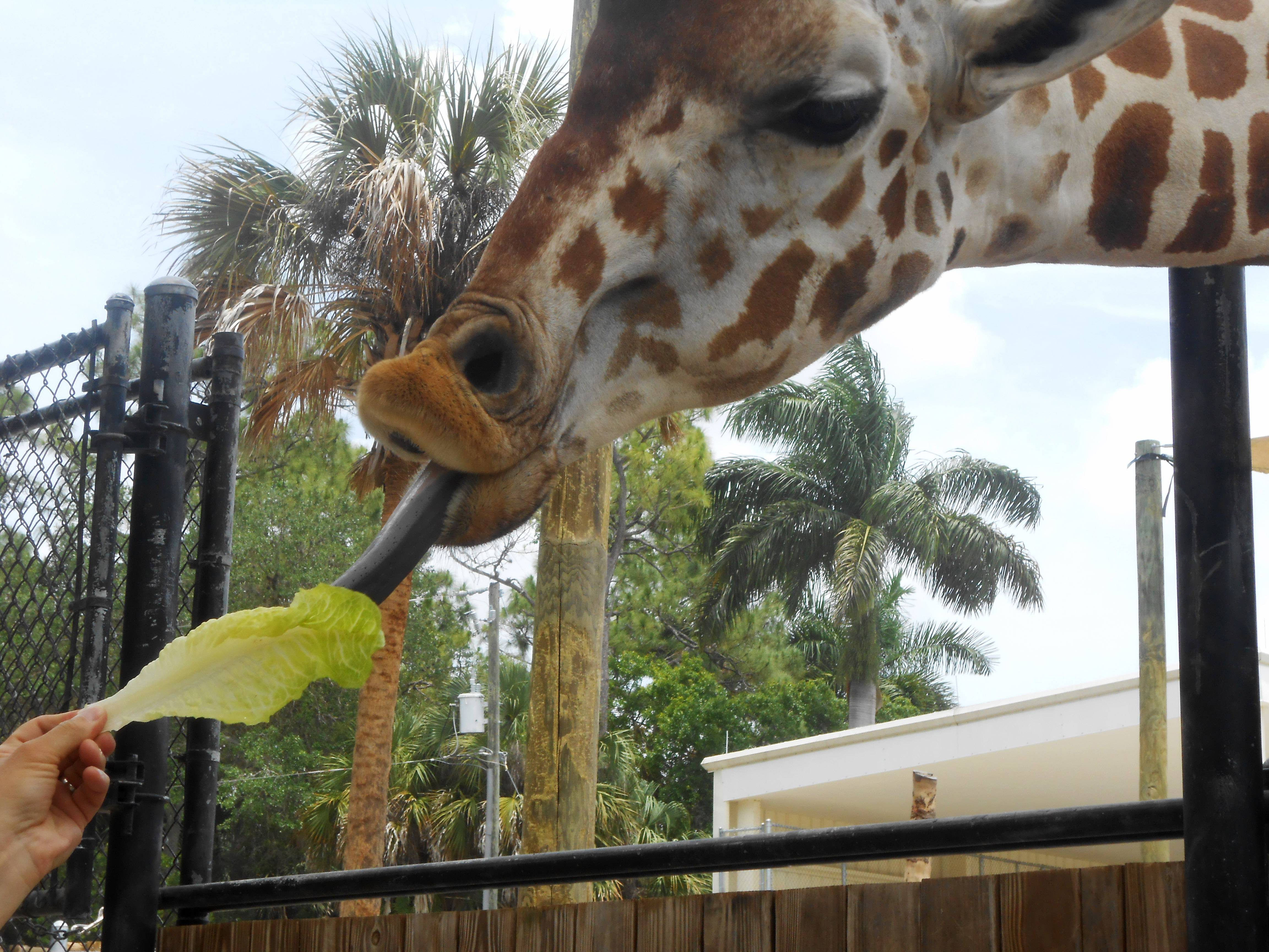 A giraffe feeds on lettuce at the Naples Zoo in Naples, Florida in May. Giraffes use their tongues to loop around the lettuce before they put it in their mouths.