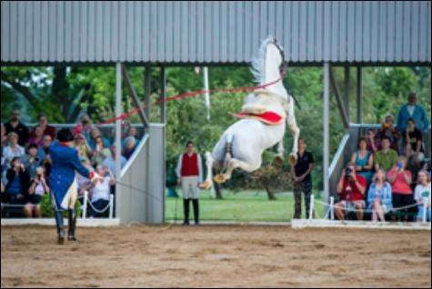 Best known for seemingly gravity-defying leaps that have prompted many to describe their breed as the equine equivalent of Mikhail Baryshnikov, The Tempel Lipizzans will begin performances for the season on Saturday, June 21.