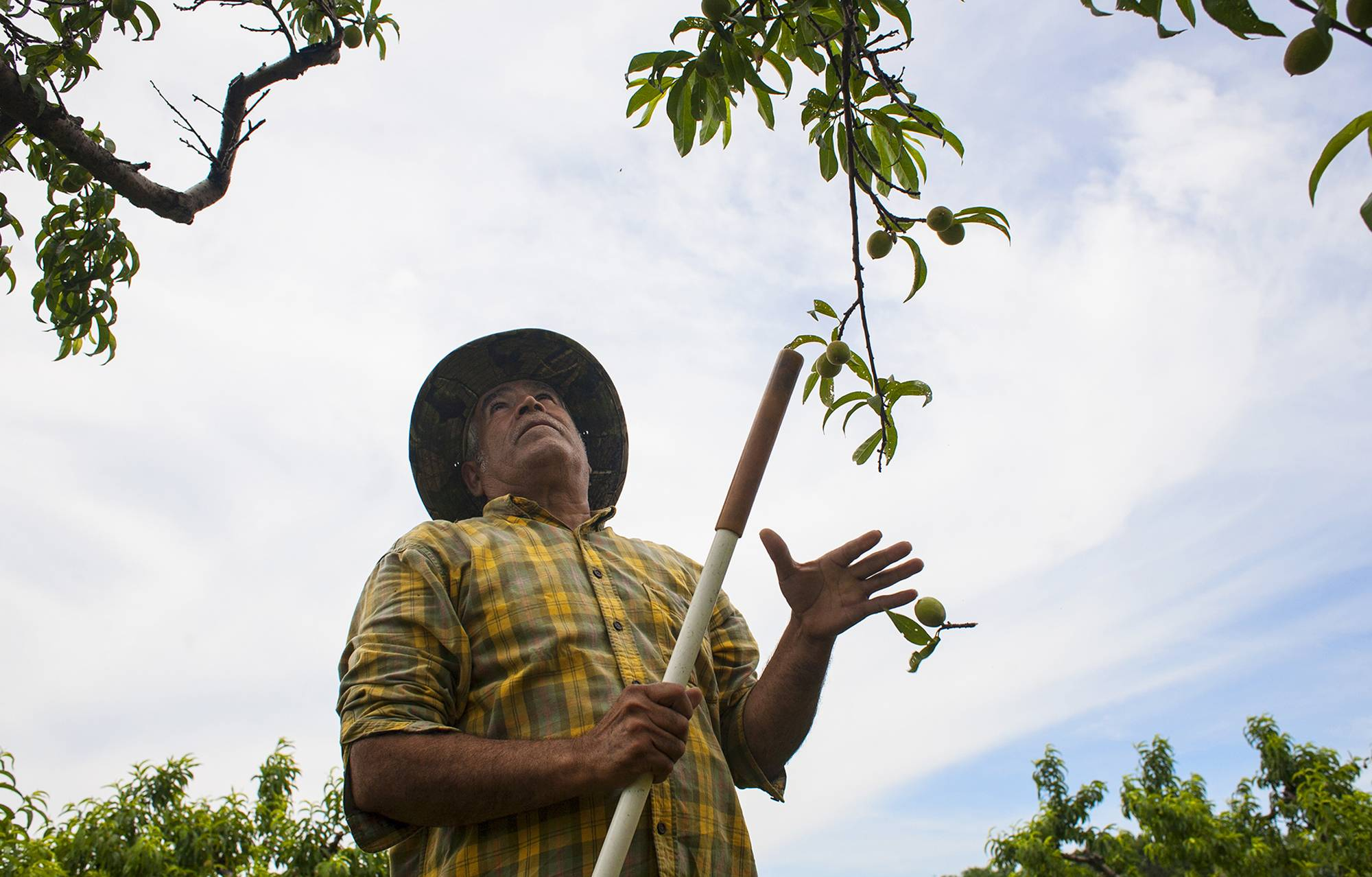 Orchard worker Rufino Rosas works to thin peach trees Saturday at Rendleman Orchards in Alto Pass, Ill.