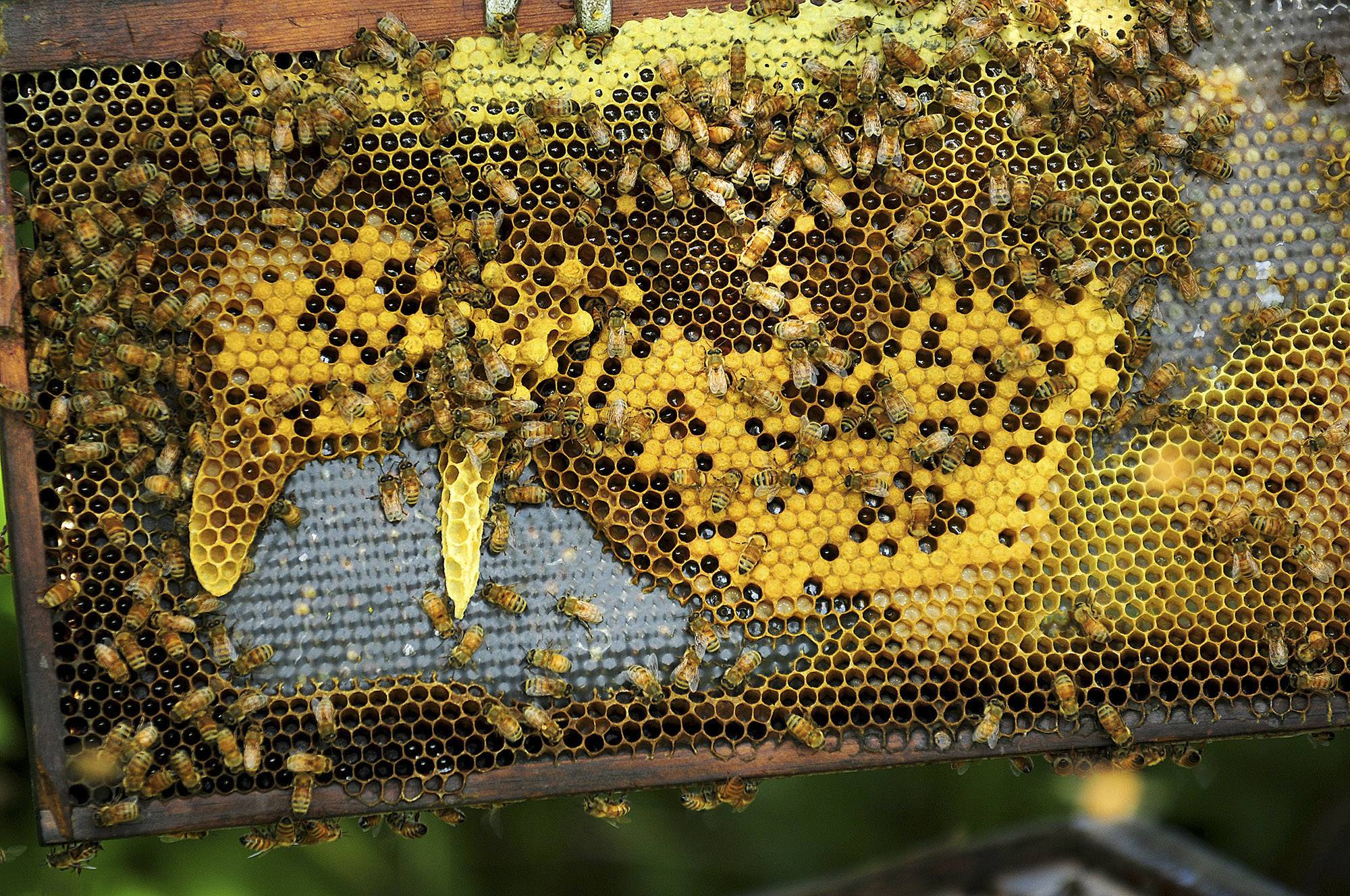 Honeybees populate a comb at Honey Hill Orchard in Waterman.