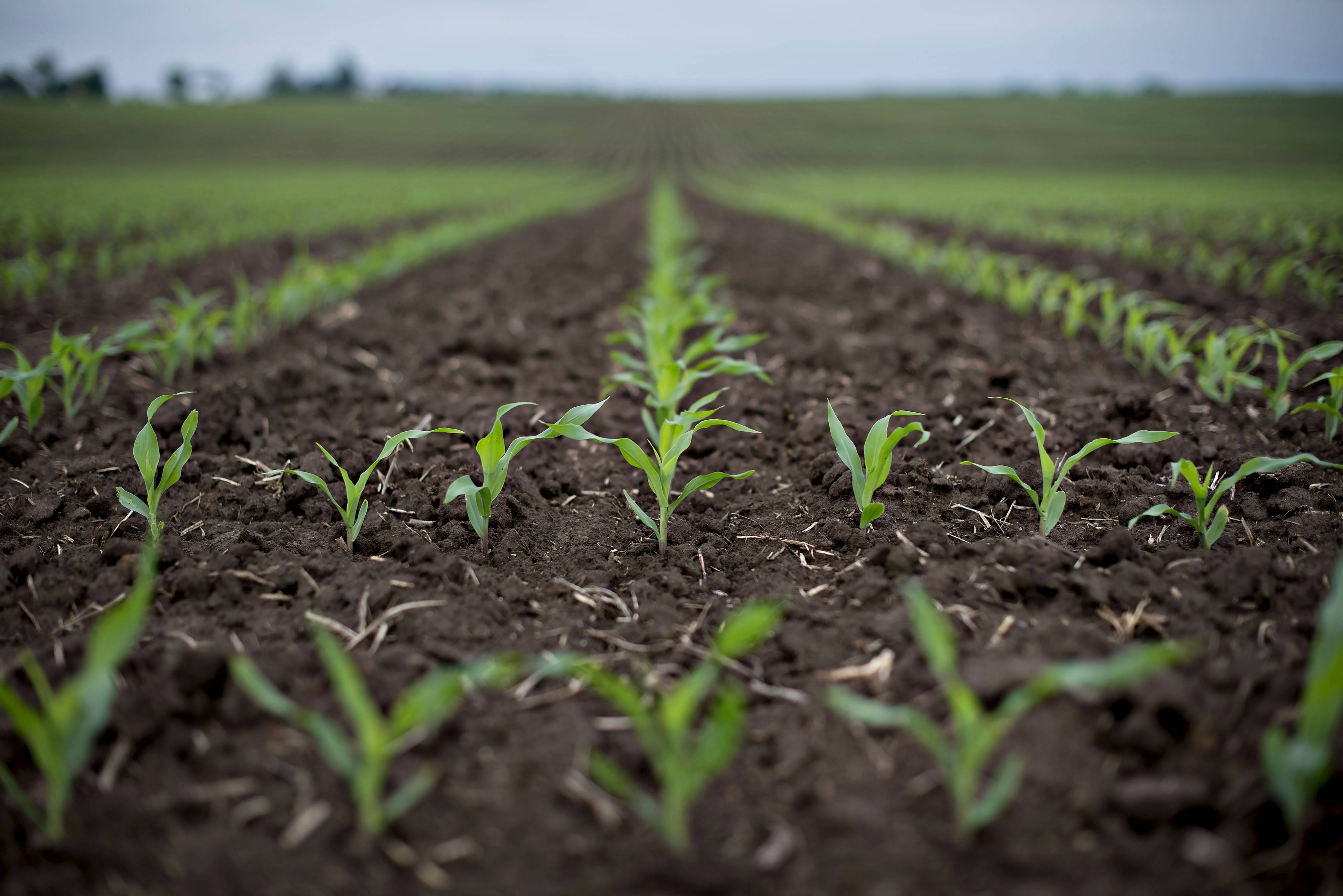 Corn grows in a field near DePue, Illinois, U.S., on Wednesday, June 4, 2014. The nation's wheat crop is smaller than earlier was predicted due to drought, but corn and soybean crop expectations have changed little in the last month, the U.S. Department of Agriculture said Wednesday.