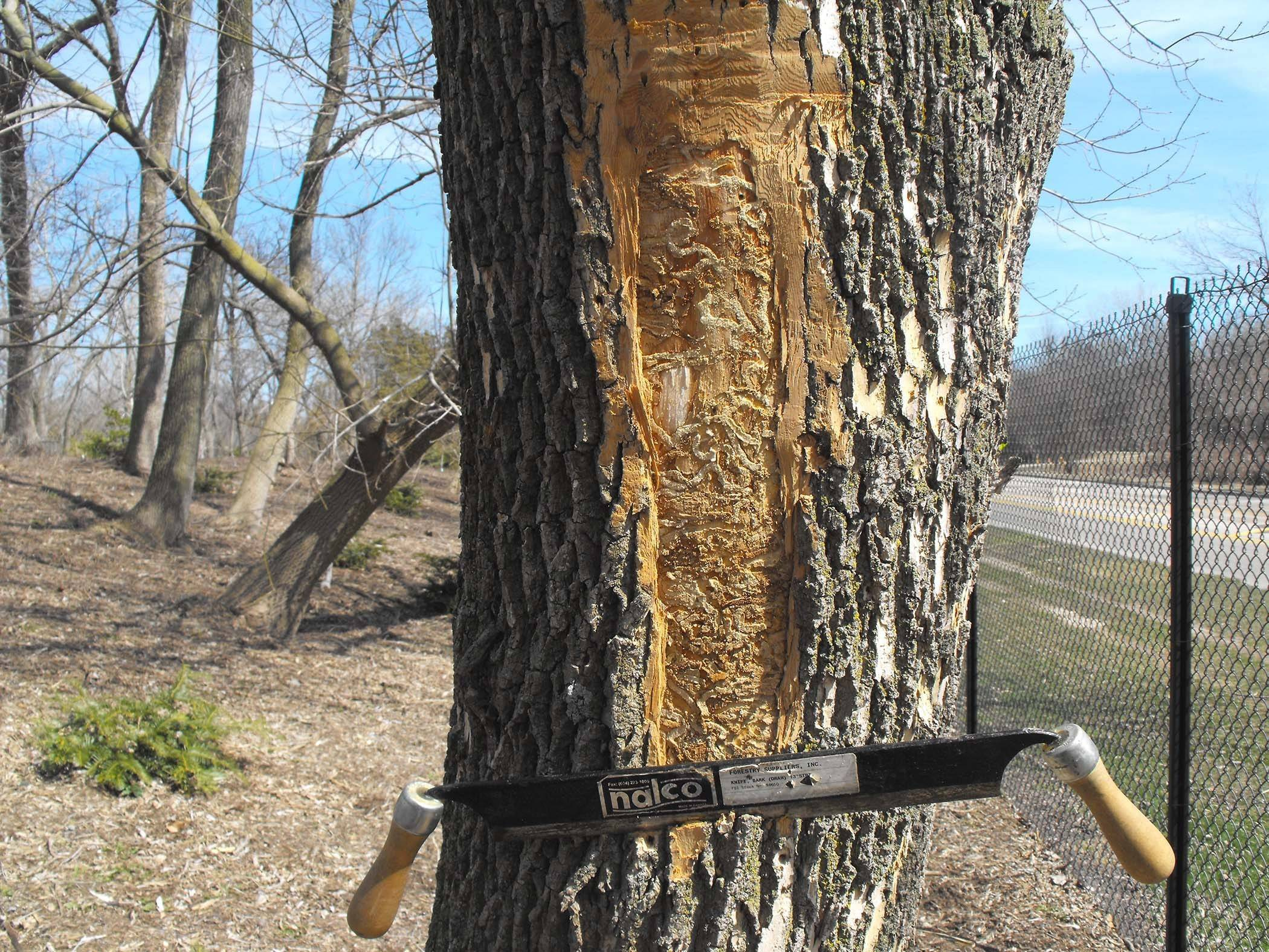 Damage caused by the emerald ash borer infestation is becoming very visible in the Chicago area.