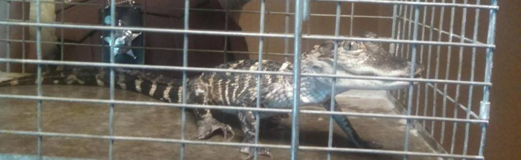 Deputies discovered this 13-inch alligator when they enforced an eviction order Wednesday morning on the South Side of Chicago.