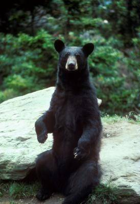 Black bears were once common in Illinois, but eliminated in the state by 1870. They will be protected under a new state law that takes effect in January.