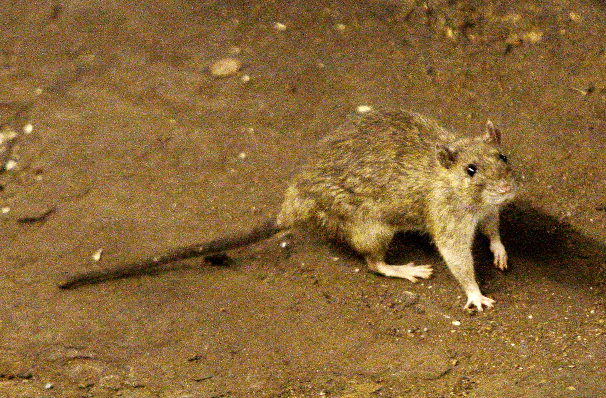 A rat moves along the ground near the subway tracks at Union Square in New York. In July 2014, New York City plans to got to war with its rat population.