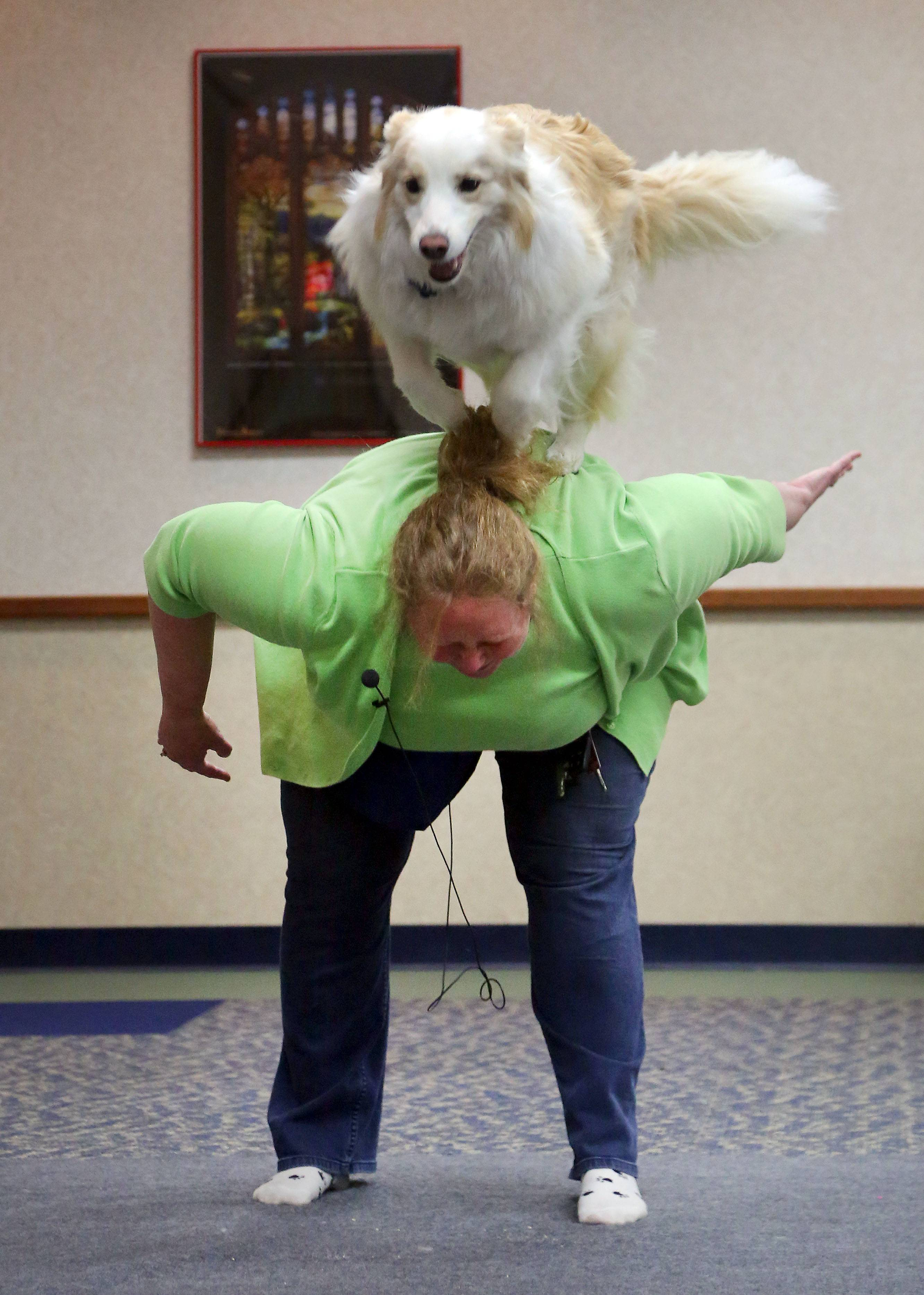 Cedar, a border collie, jumps over the back of dog trainer Robin Bengston on Monday at the Fremont Public Library in Mundelein.