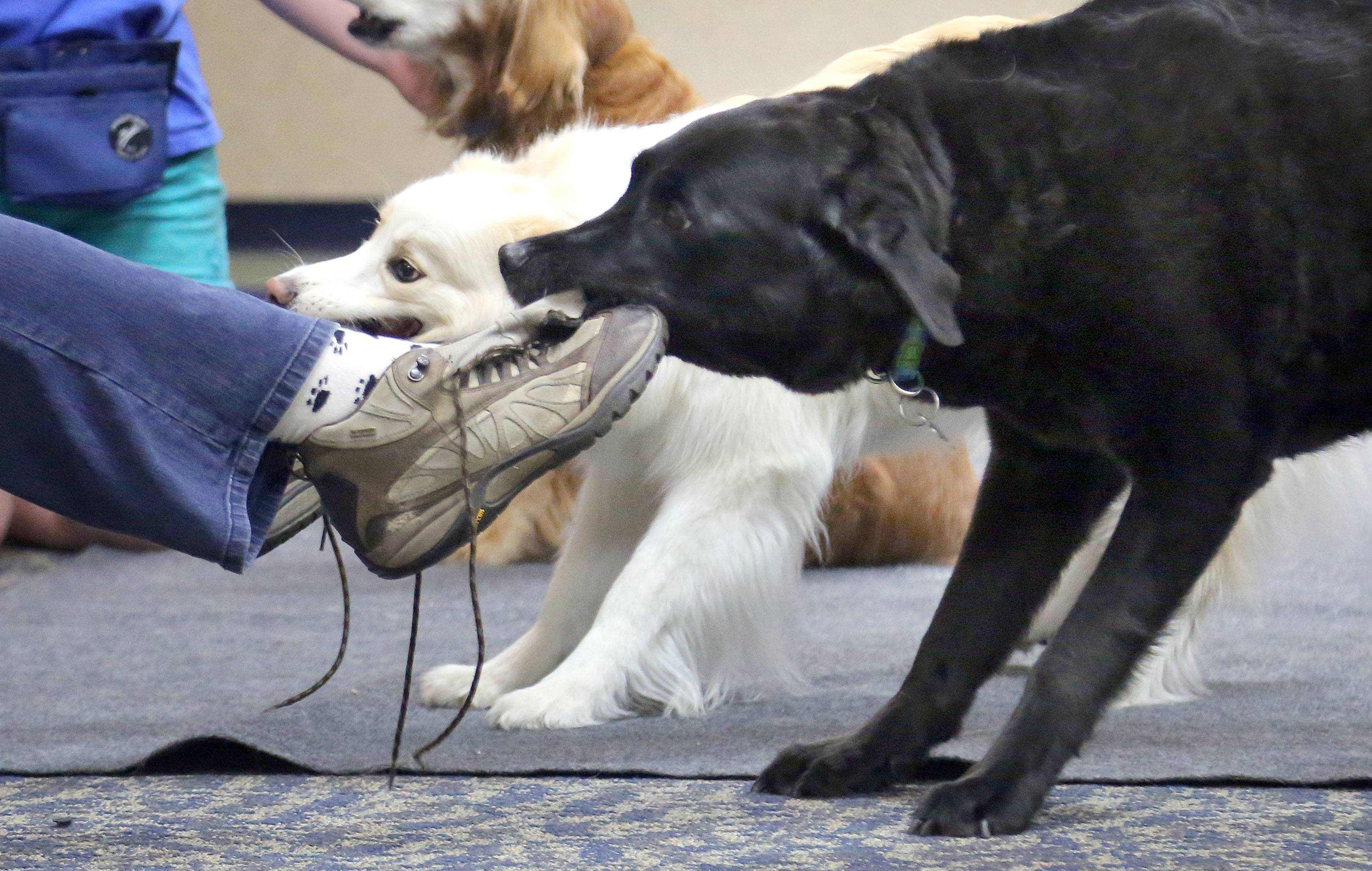 Cedar, left, and Slater take the shoes off trainer Robin Bengston Monday at Fremont Public Library in Mundelein.