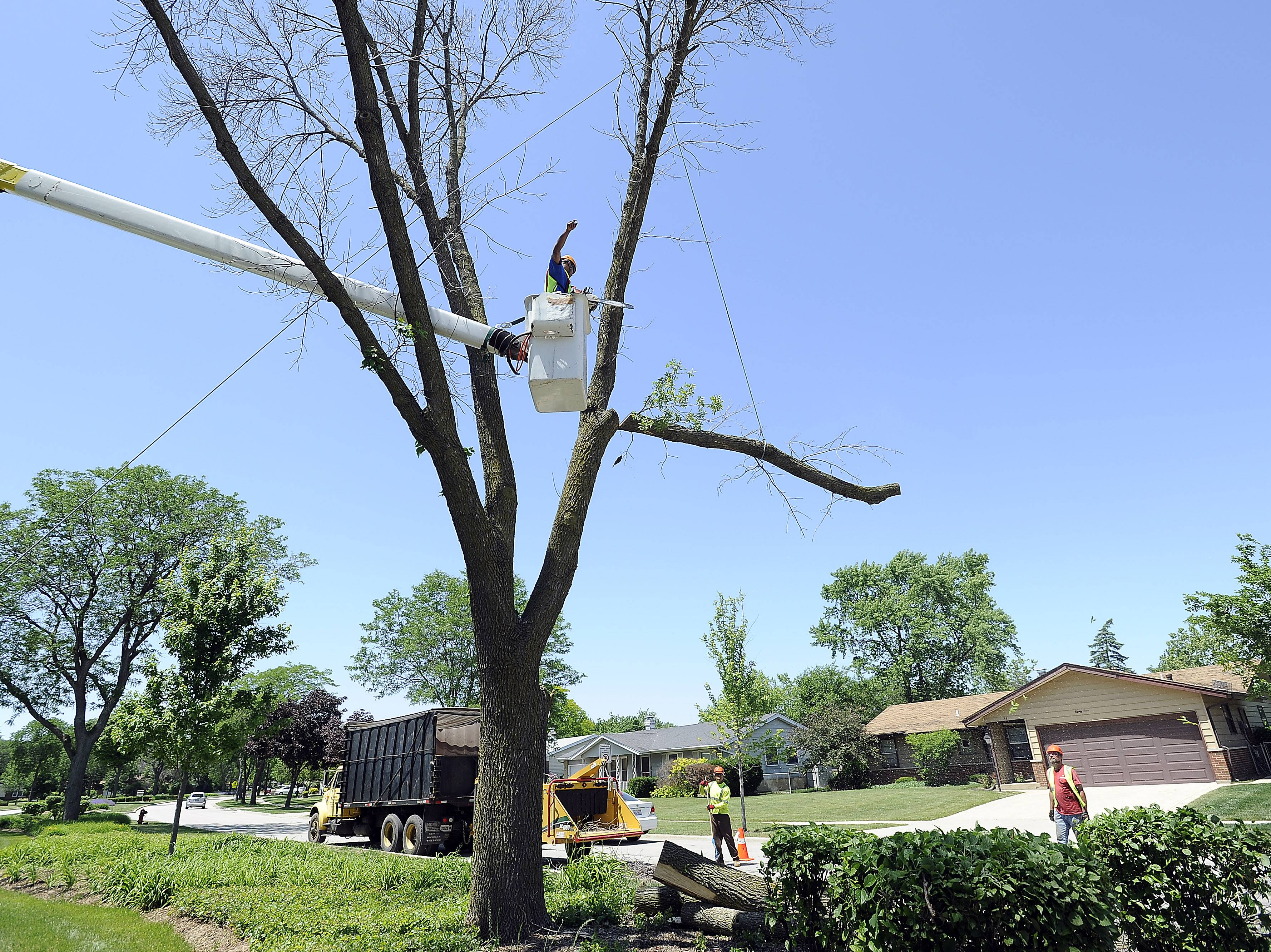 Crews from Powell Tree Care on Tuesday haul away branches cut away from an ash tree infested by the emerald ash borer along John F. Kennedy Boulevard in Elk Grove Village.