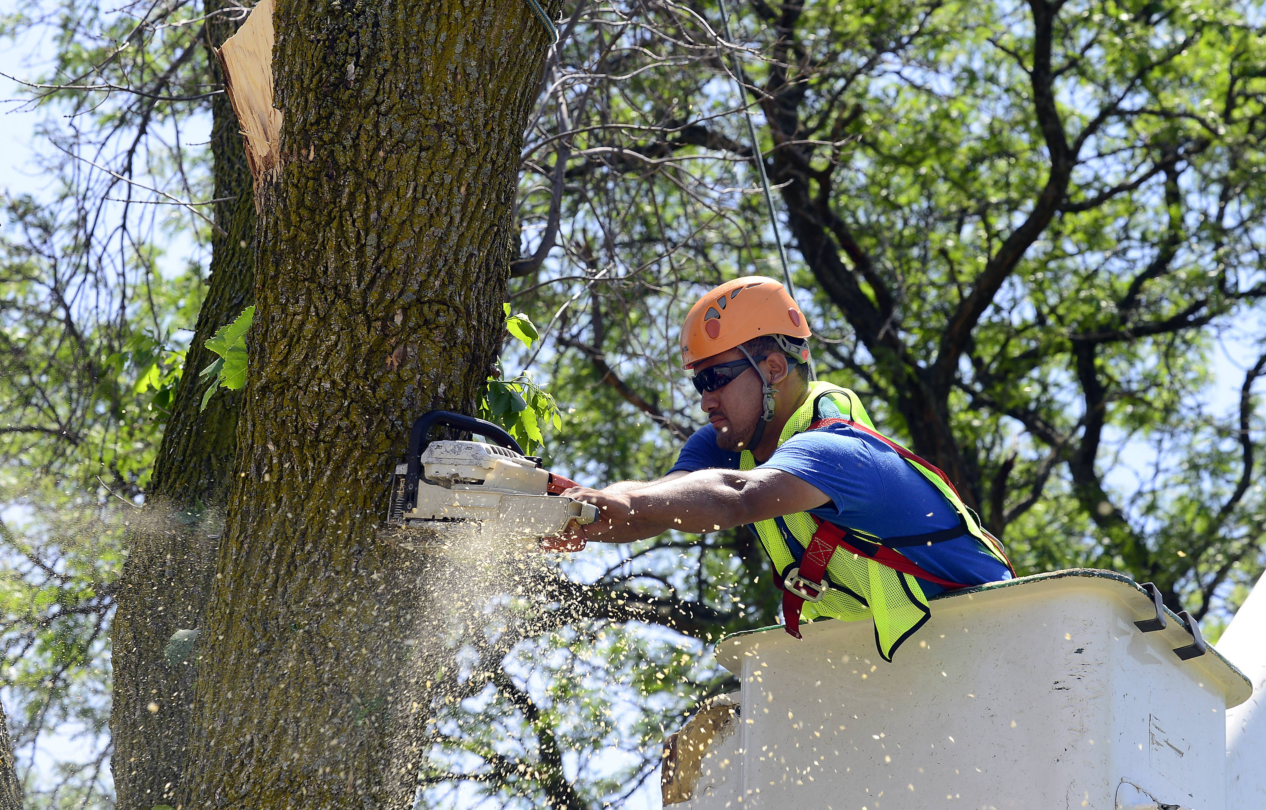 Cristian Molina of Powell Tree Care begins cutting down a tree infested with emerald ash borer Tuesday along John F. Kennedy Boulevard in Elk Grove Village.