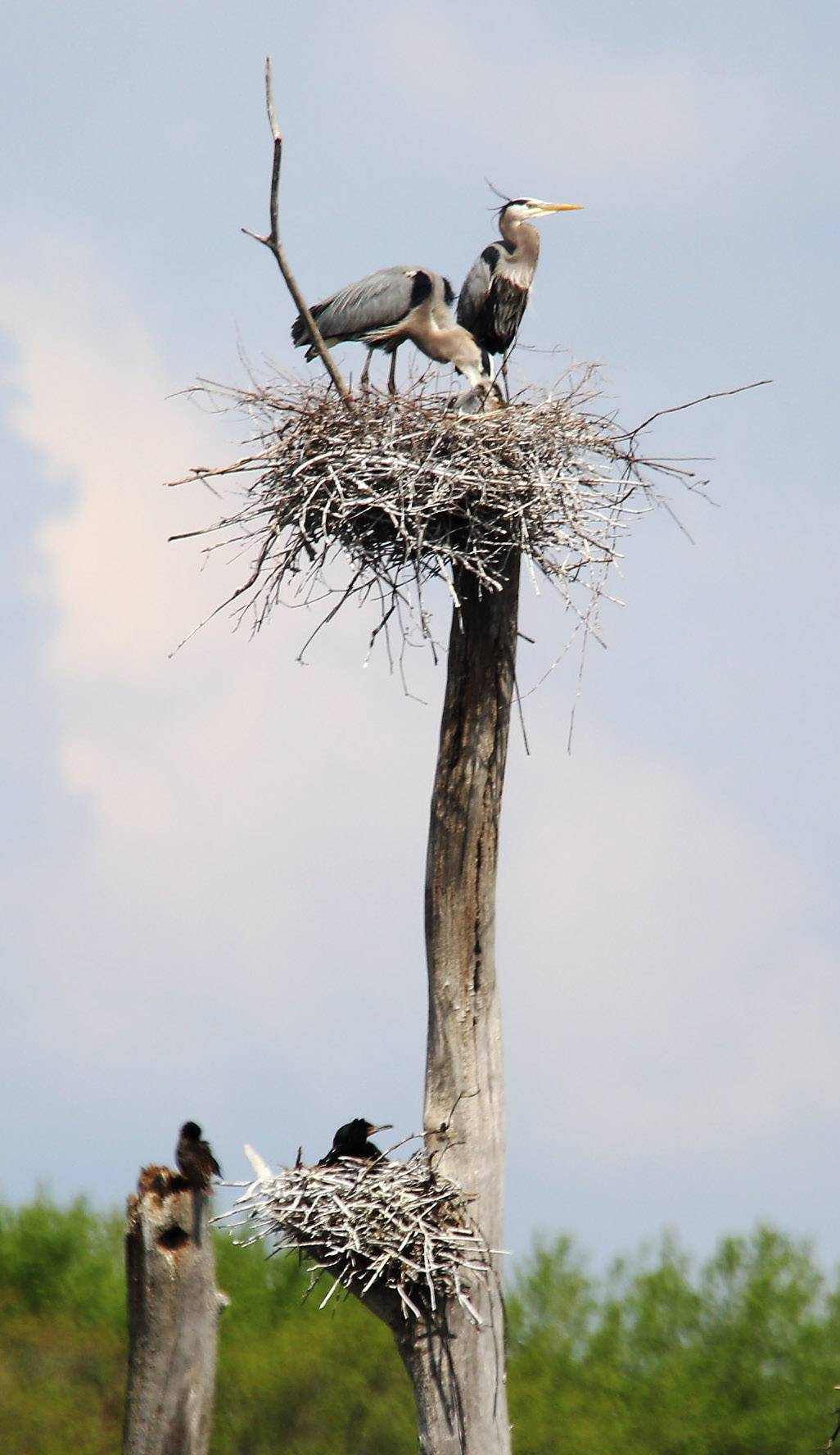 Great blue herons and cormorants nest in a cottonwood tree at the Almond Marsh Rookery near Wildwood.