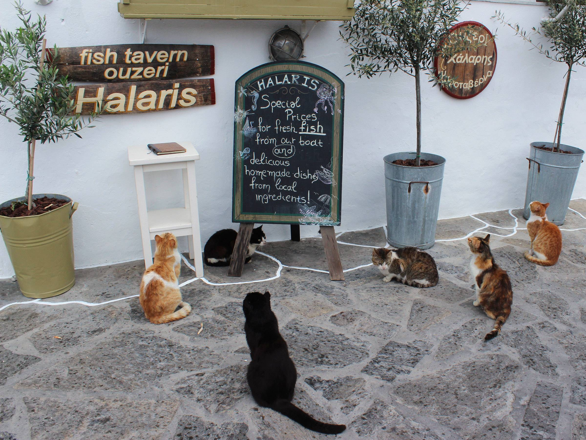 It seems the cats are reading the menu from the restaurant in the town of Pisso Livada, on the island of Paros, Greece on May 10.
