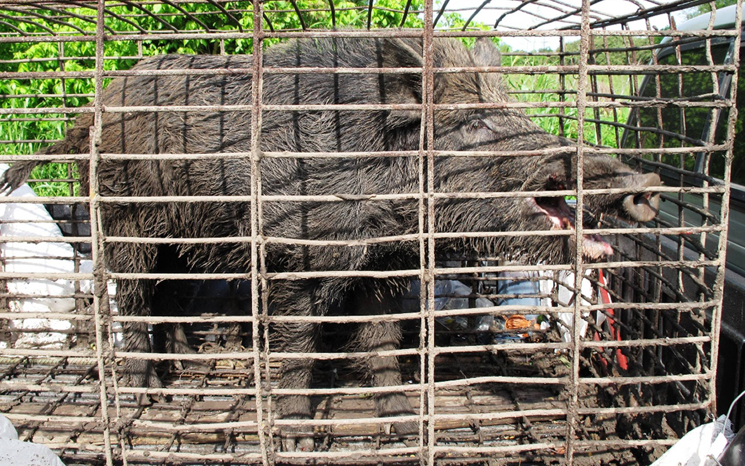 A feral hog caught by trapper John Schmidt is caged in New Orleans. An estimated 5 million swine, descendants of both escaped domestic pigs and wild Eurasian boars imported by hunters, do about $800 million in damage a year to farms nationwide.