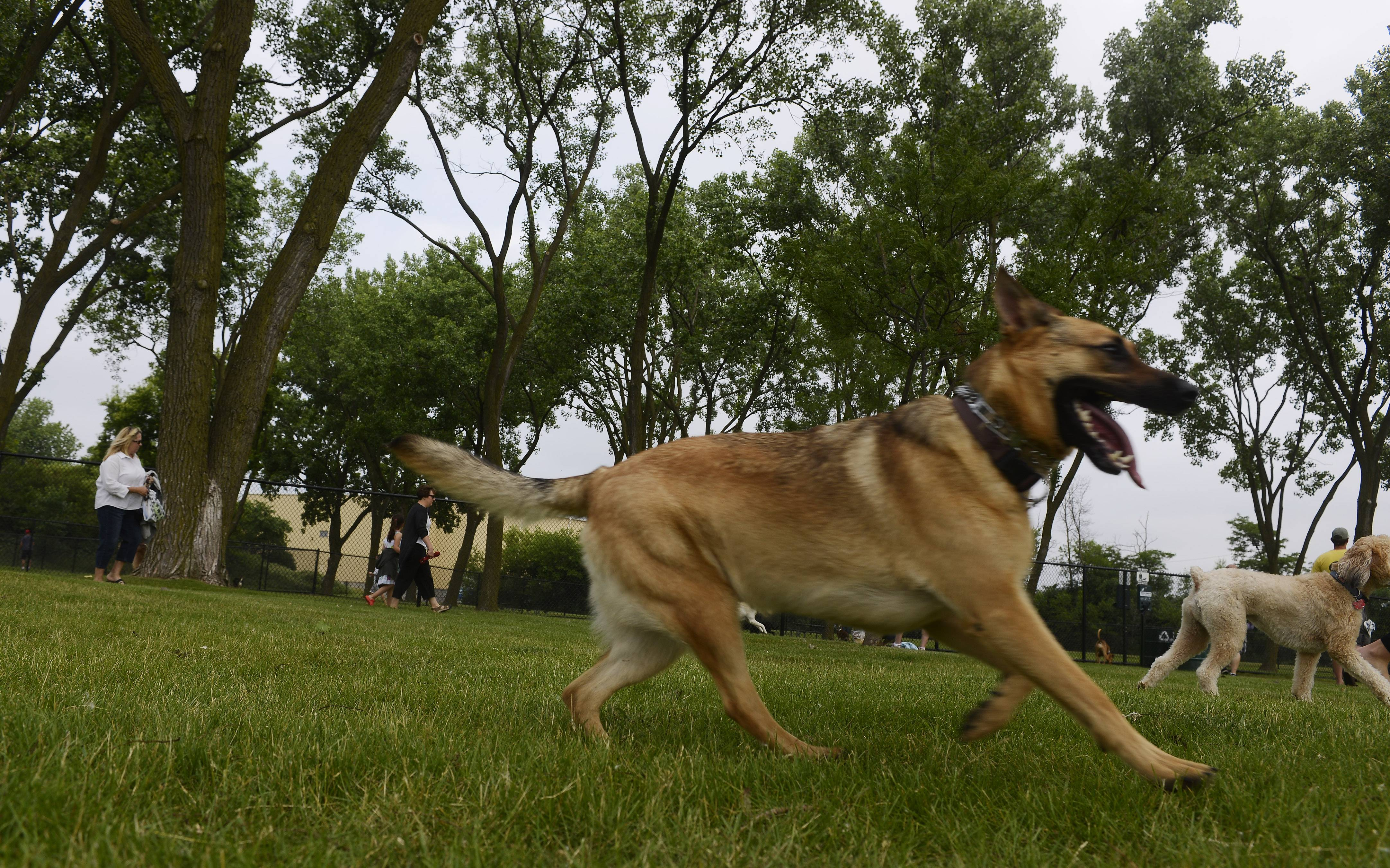 Dogs run in the open space of the Canine Commons dog park at Melas Park in Mount Prospect.