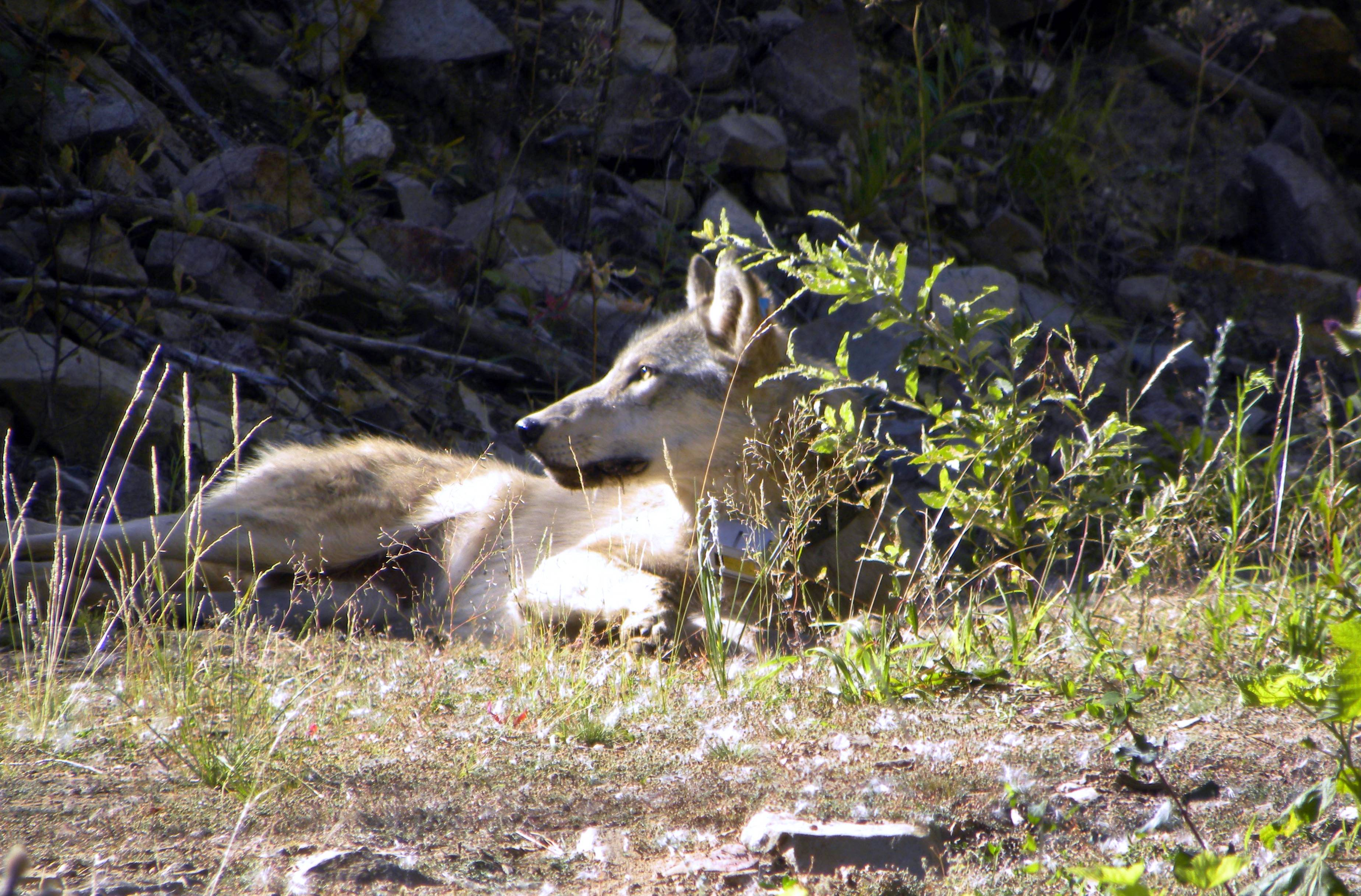 A gray wolf rests on the Colville Indian Reservation near Nespelem, Wash. Two tribal wildlife biologists captured and collared the female wolf. Eight conservation groups recently filed a petition asking the Washington Department of Fish and Wildlife to require livestock producers to exhaust nonlethal measures to prevent wolf depredations before any wolves are killed.