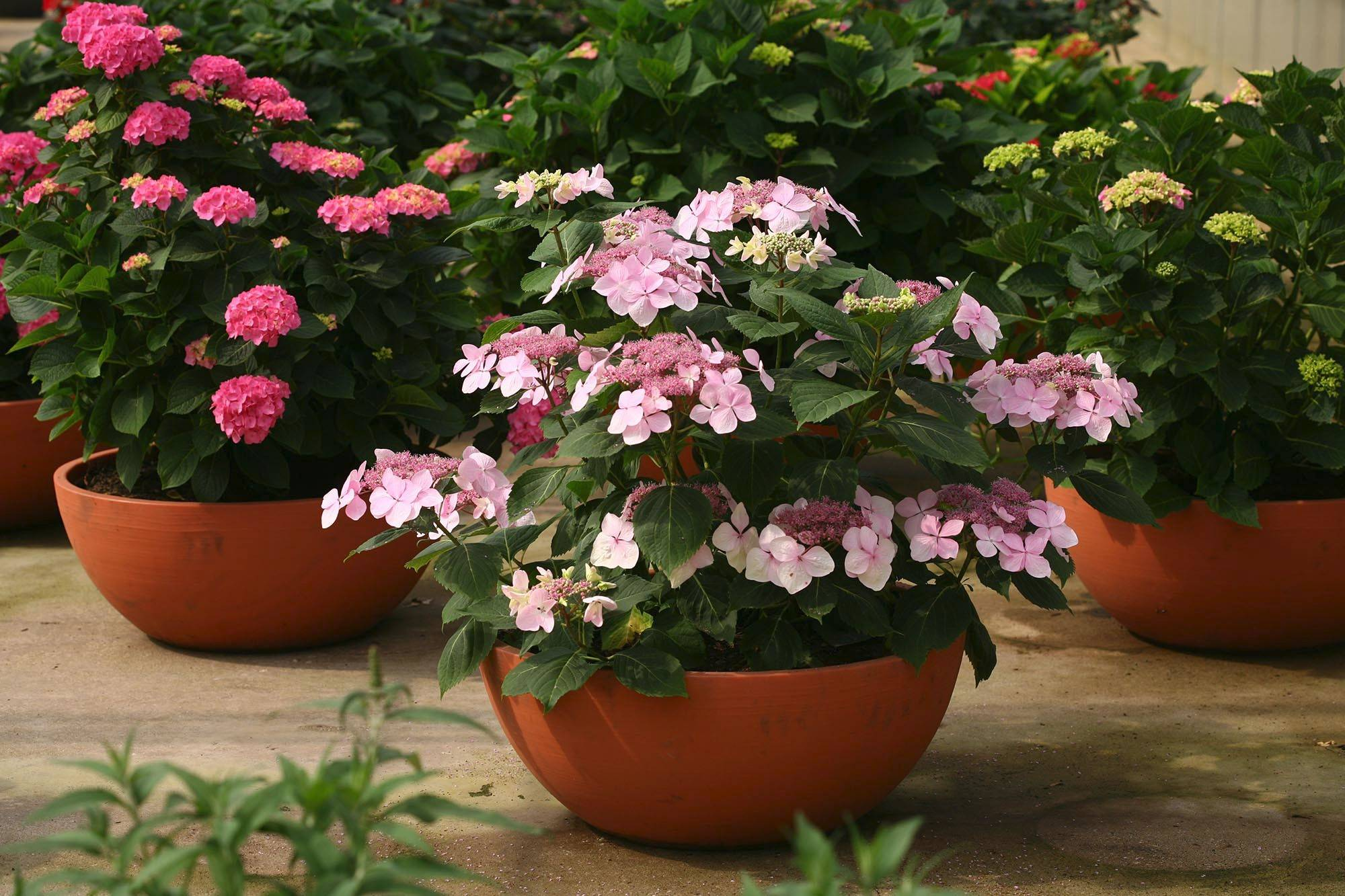 Let's Dance Diva, another reblooming lacecap hydrangea from Proven Winners, was developed for its oversize blooms.