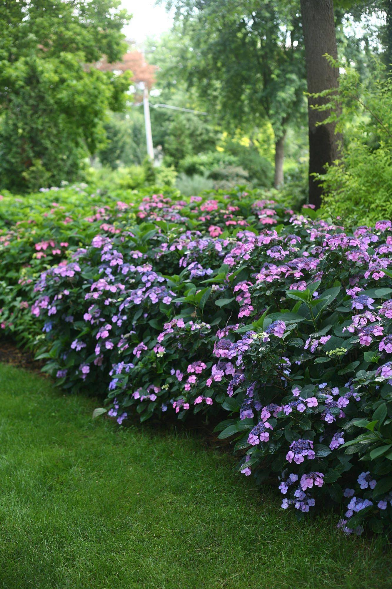 Tuff Stuff, a reblooming lacecap hydrangea from Proven Winners, was bred to outwit a polar vortex winter. It grows to about 3 feet in height and width.