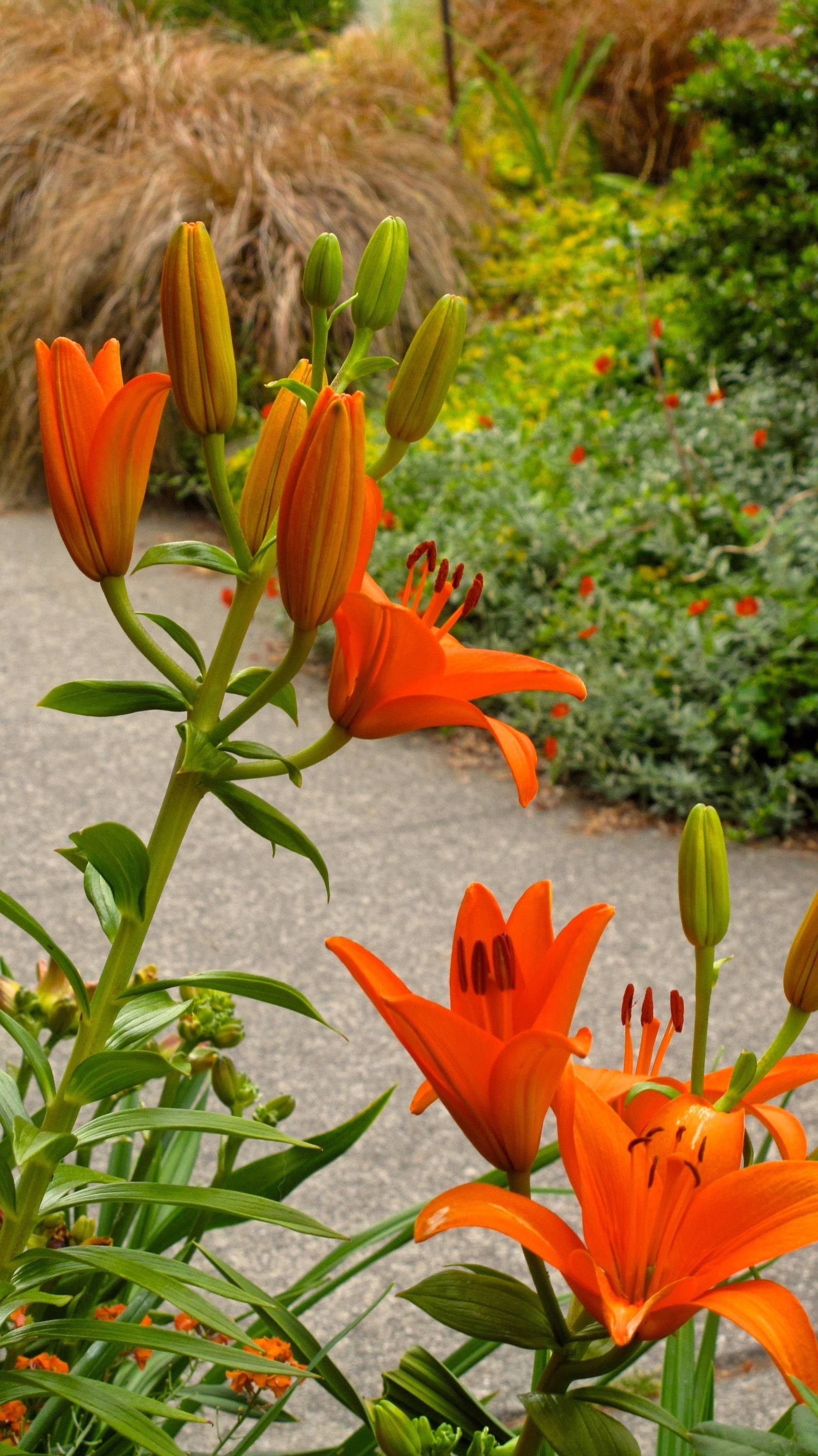 In this curbside garden, a gardener uses perennials to soften the look of the narrow area between sidewalk and street. The day lilies and ornamental grasses are attractive, easy to maintain and low enough to the ground that they don't block sight lines.