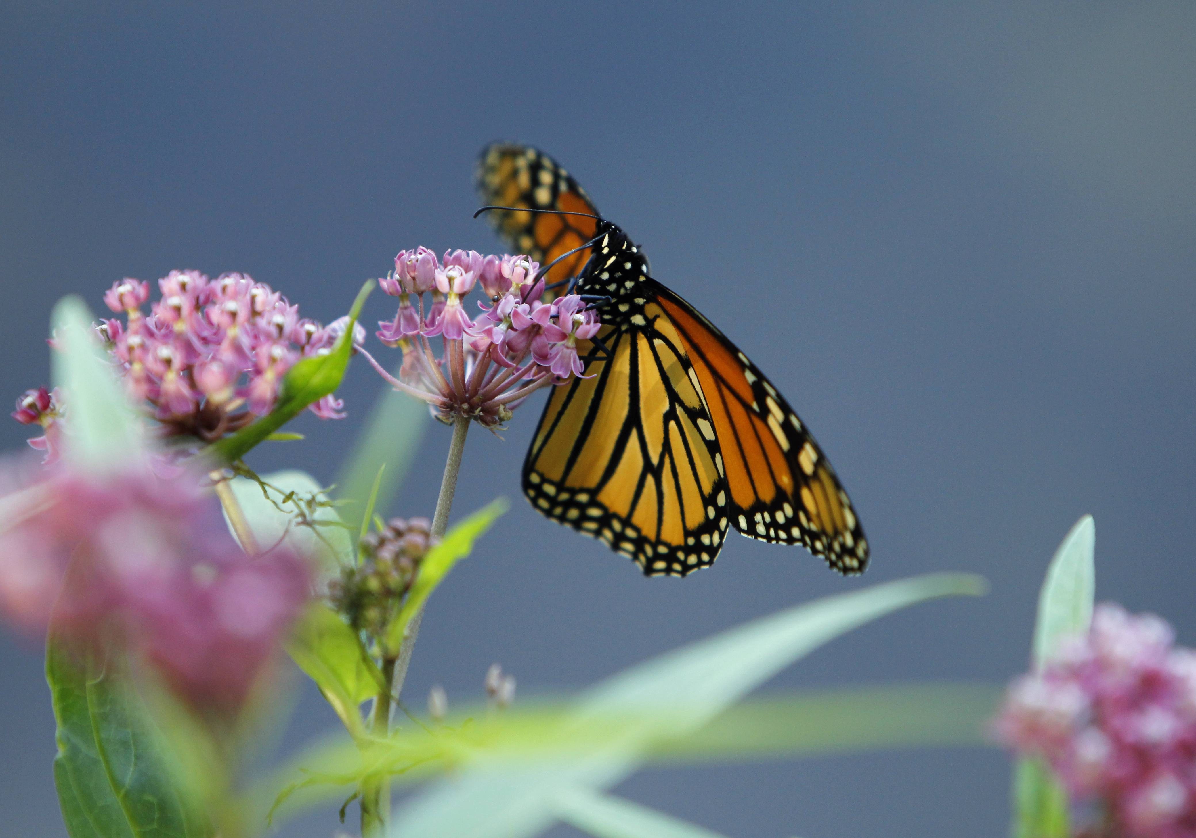 A monarch butterfly eats nectar from a swamp milkweed on the shore of Rock Lake in Pequot Lakes, Minn. A new study published in the journal Nature Communications suggests monarch butterflies use an internal magnetic compass to help navigate on their annual migrations from North America to central Mexico.